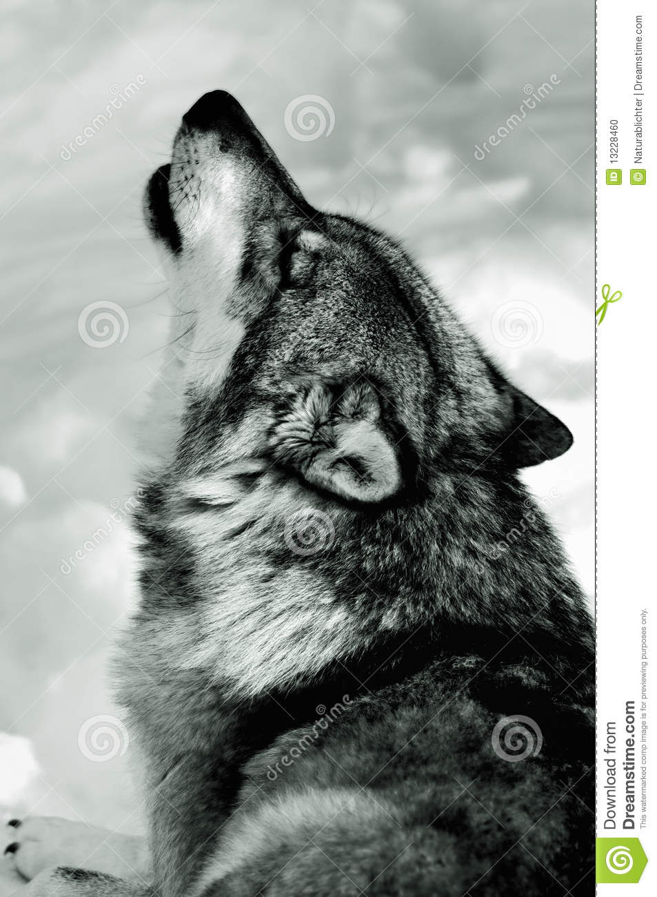 Howling wolf in snow stock photo image of looking looks 13228460