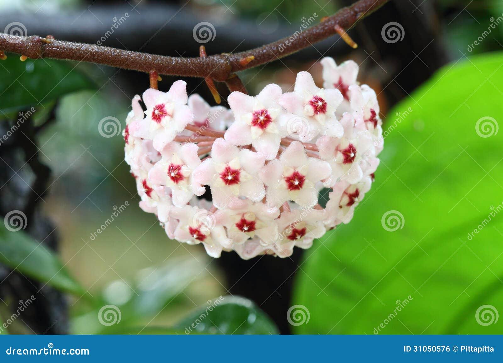 Hoya bloem