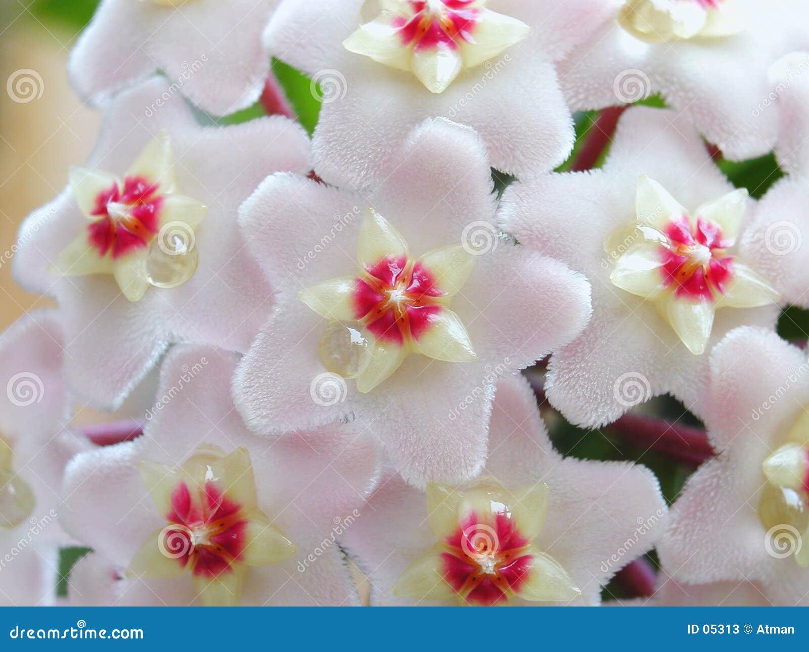 Hoya bloemen