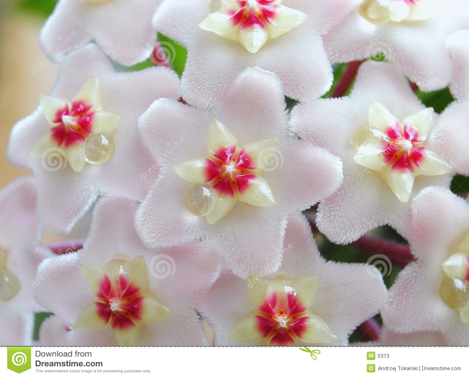 Hoya-Blumen