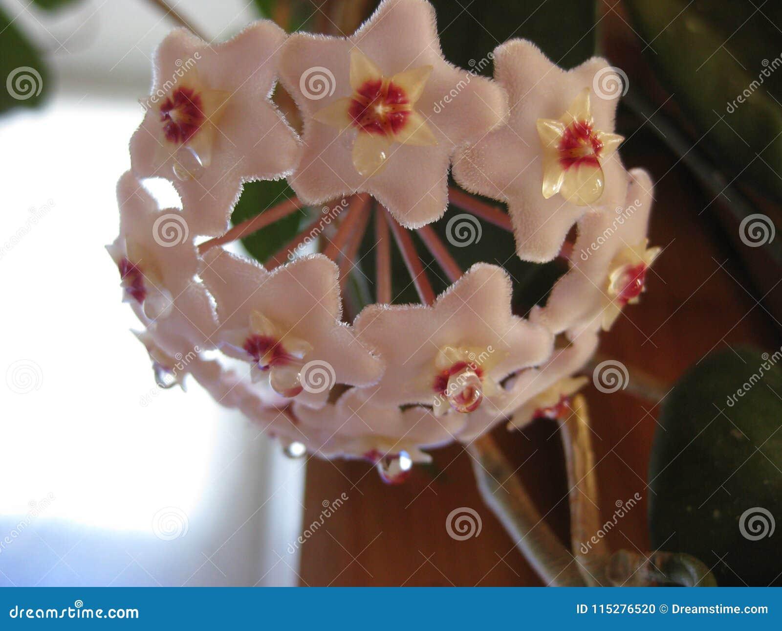 Hoya-Blumen sind klein und irgendwie in den kleinen Blumensträußen - sehr netter Blick im Innenraum gesammelt
