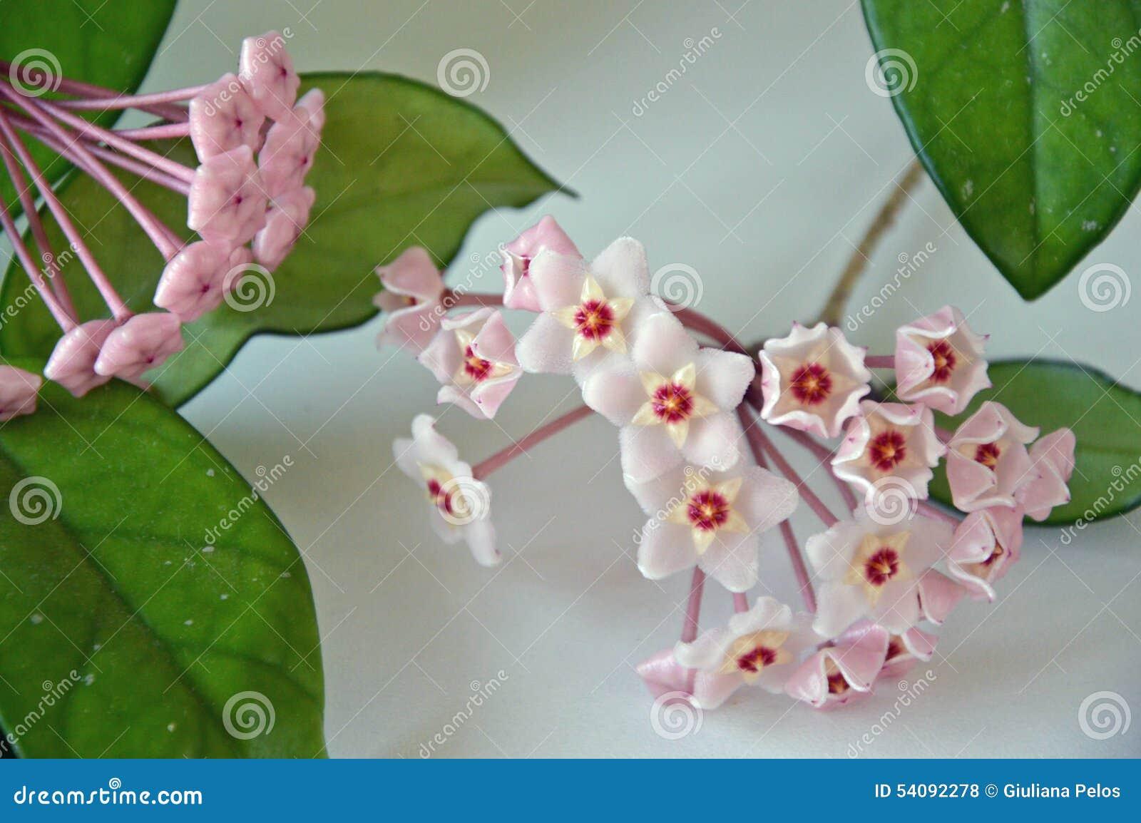 Hoya carnosa - Bloeiende knoppen - sluit omhoog - Italië