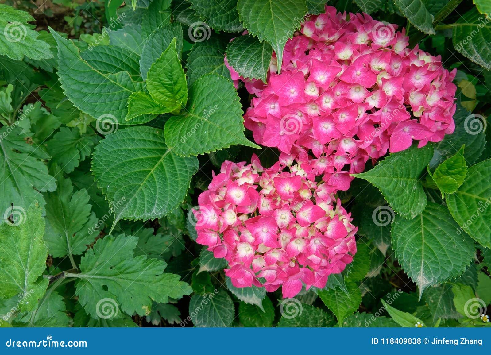 Fiori Hoya.Hoya Carnosa Flowers Stock Photo Image Of Hoya Bloom 118409838