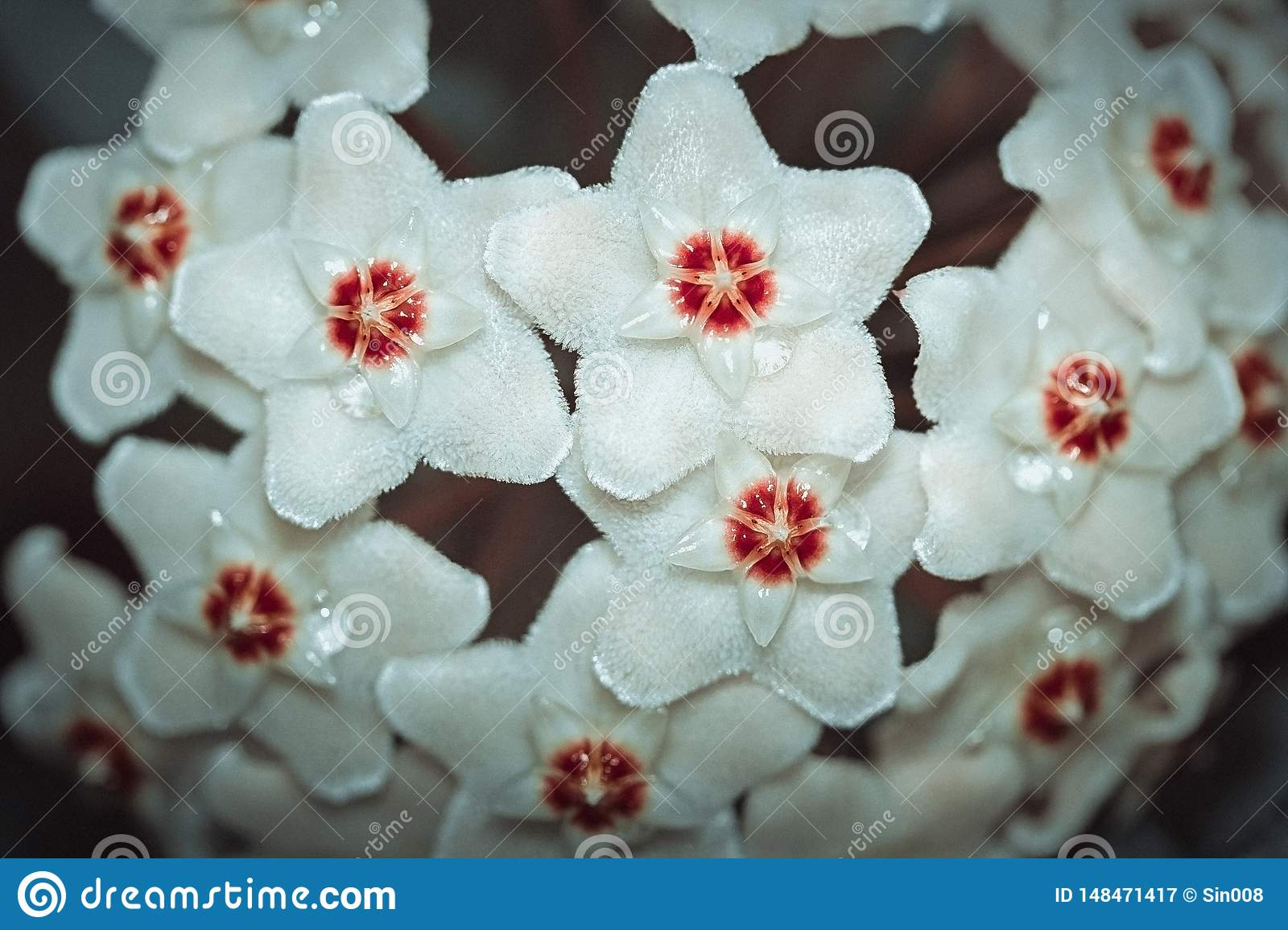 Hoya carnosa, Porcelainflower, waxplant closeup. White fluffy flower with a red center like a star.