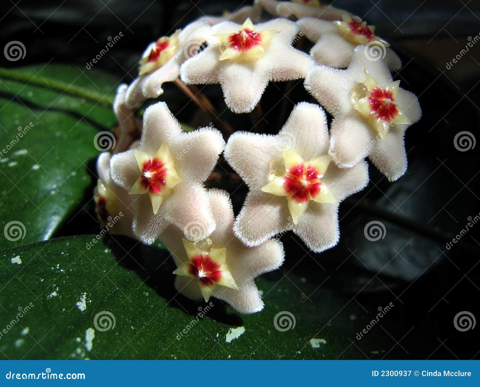 Hoya Flower blossom