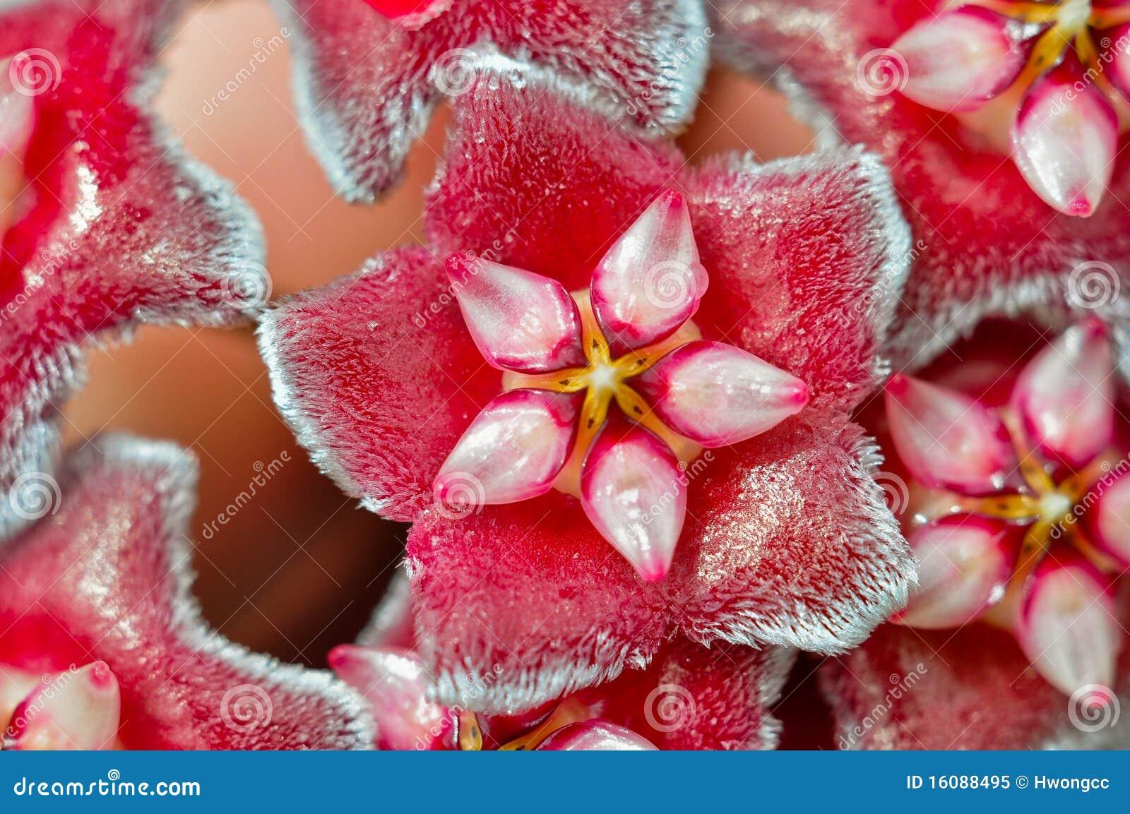 Hoya flowers (Hoya carnosa) macro