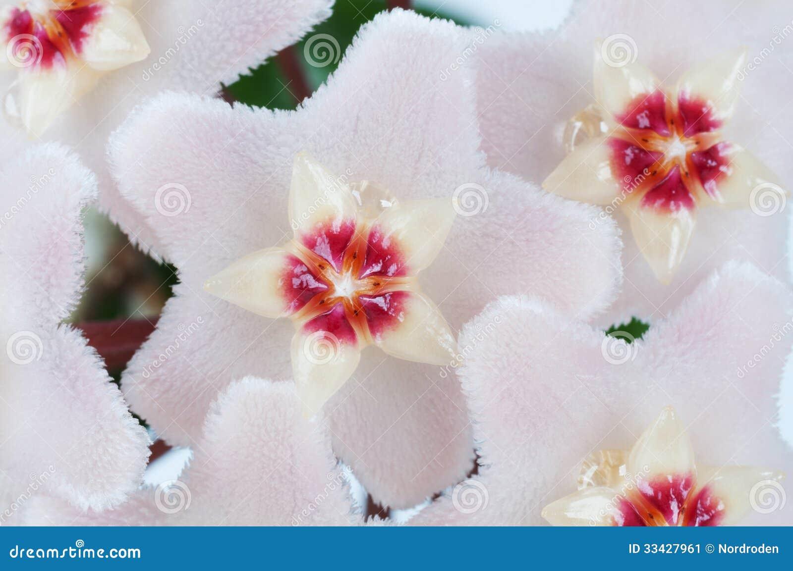 Hoya flowers macro