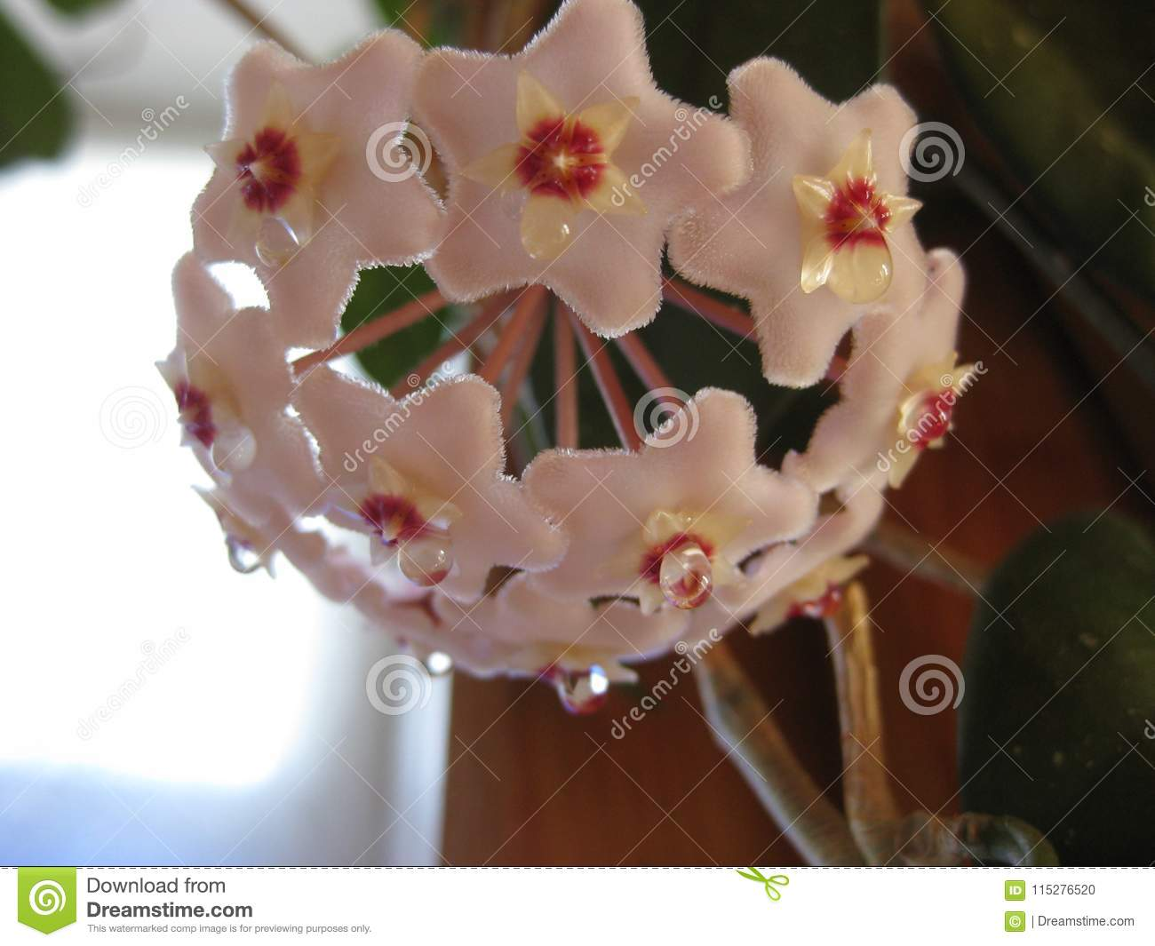 Hoya flowers are small and collected in small bouquets - very nice look in any interior.