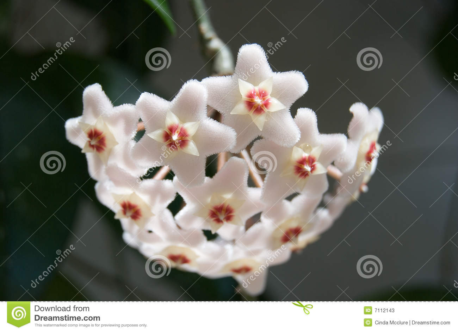 Hoya (Hoya carnosa) flower cluster