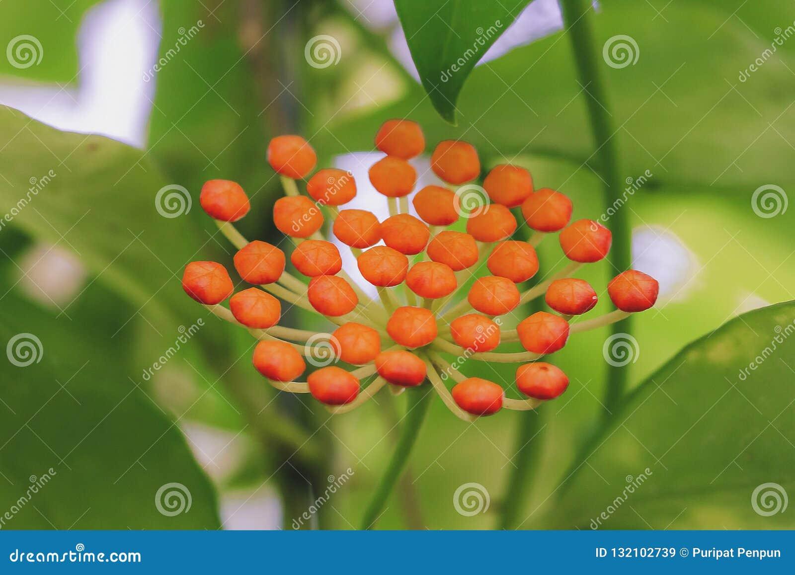 Hoya kerrii found in Thailand
