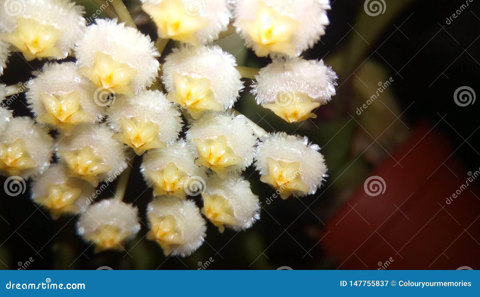 Hoya Lacunosa close up