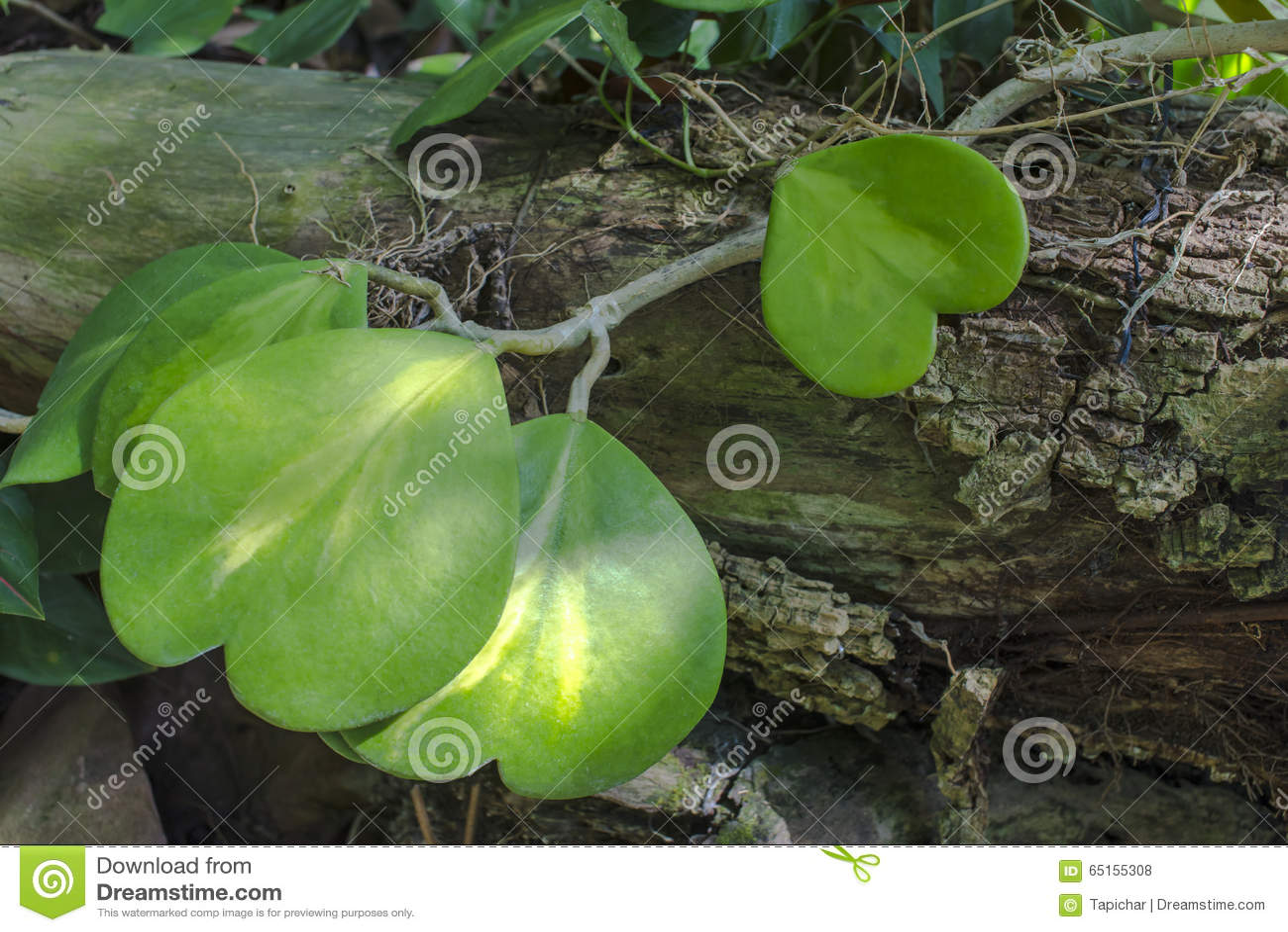 Hoya Plant Stock Photo Image Of Wood Shaped Heart 65155308