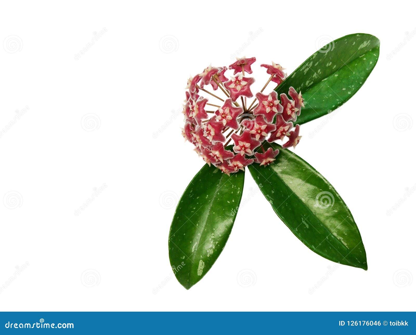 Hoya pubicalyx isoleerden de Roze zilveren bloem en de groene bladeren witte achtergrond