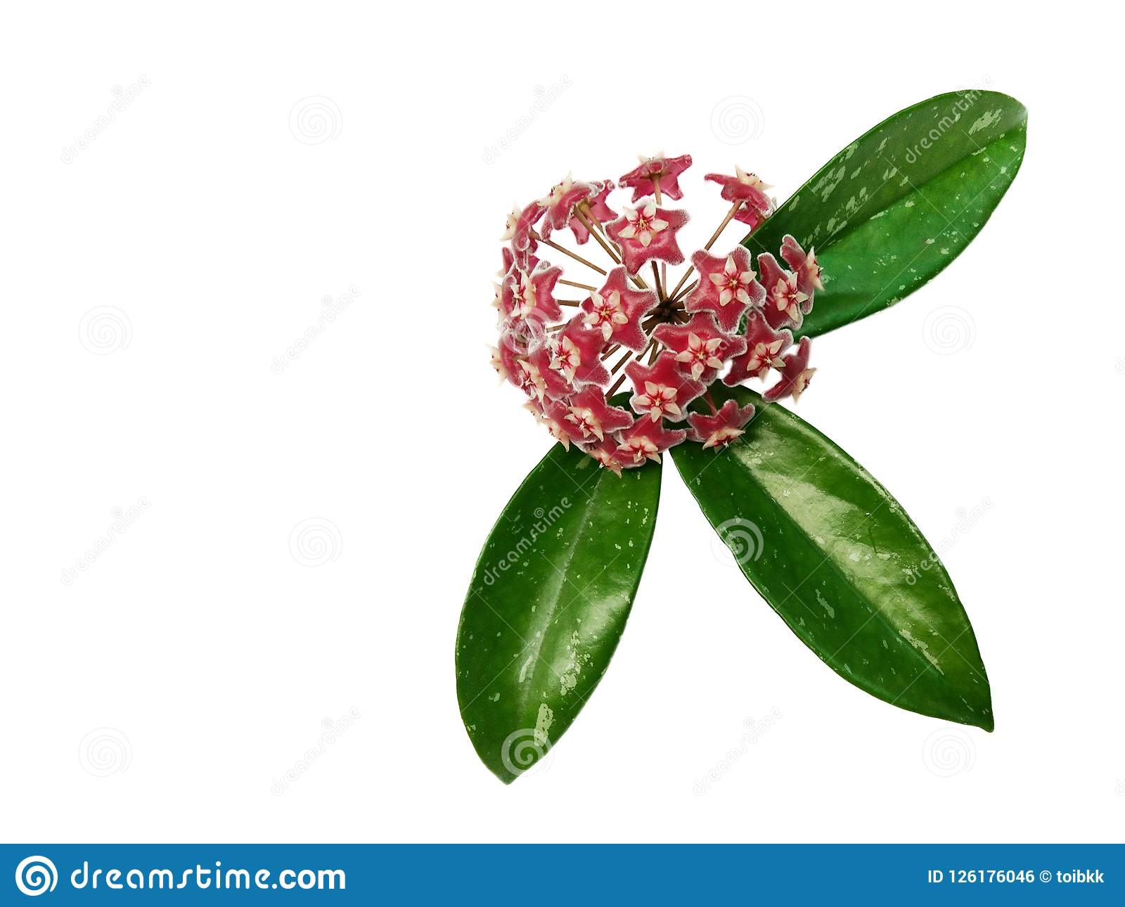 Hoya pubicalyx Pink silver flower and green leaves isolated white background