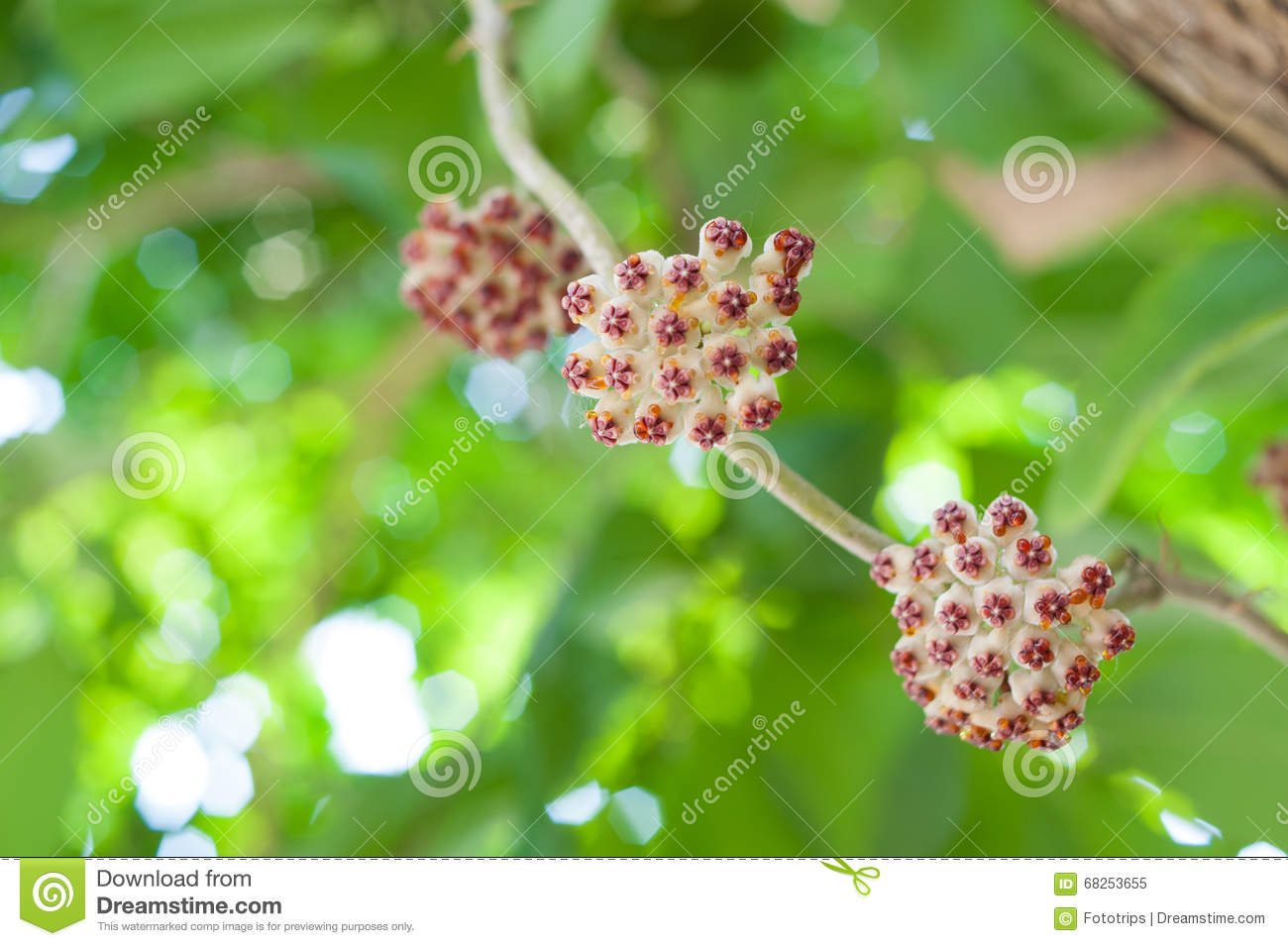 Hoya, Wax plant flower