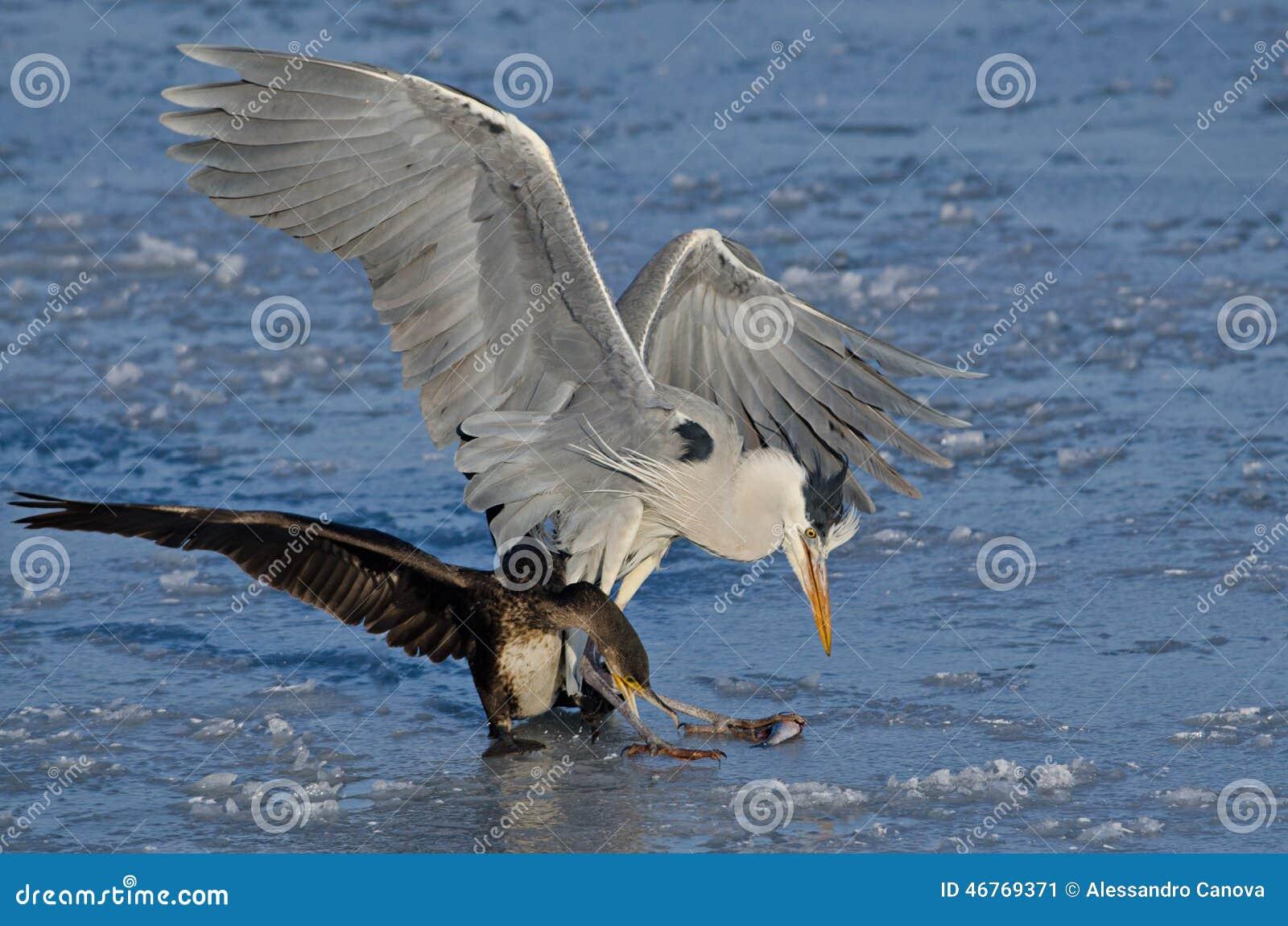 H ron et cormoran luttant pour manger un poisson photo for Manger pour poisson