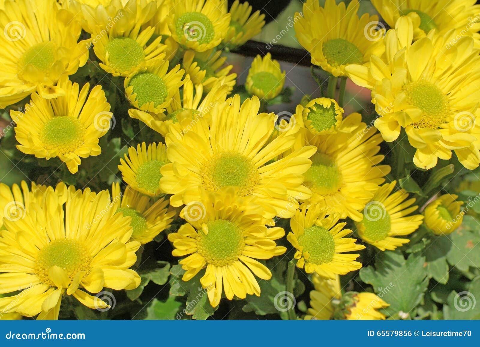 Hrysanthemum amarelo bonito
