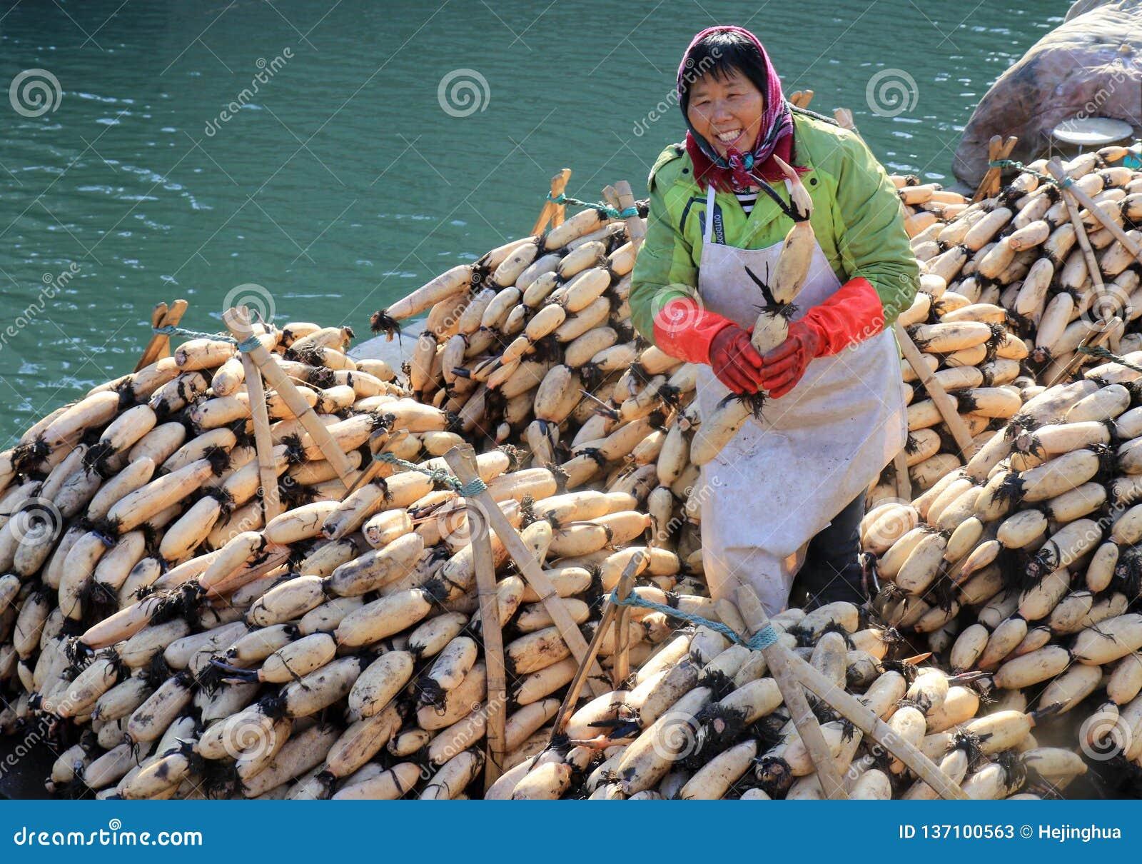 """Huai """", Jiangsu, Cina: lo sviluppo della radice del loto che pianta per aiutare gli agricoltori ad aumentare reddito"""