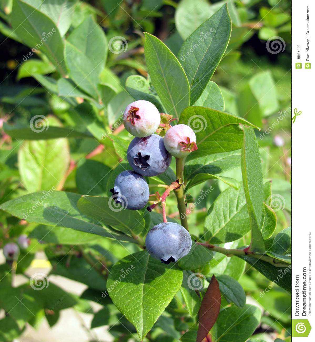 how to grow huckleberries from cuttings