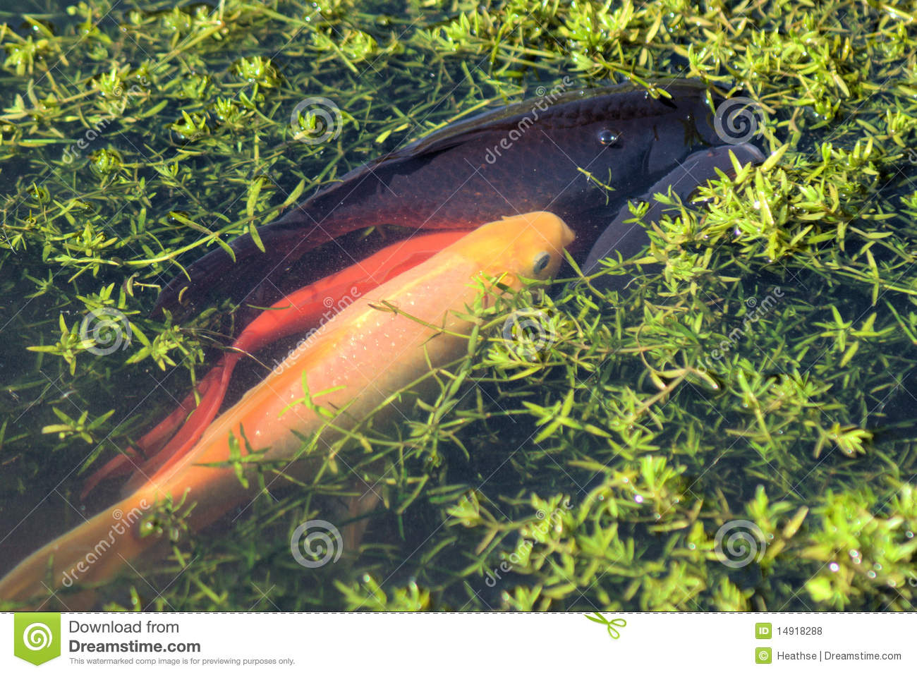 Huddle of fish spawning royalty free stock photos image for Colorful pond fish