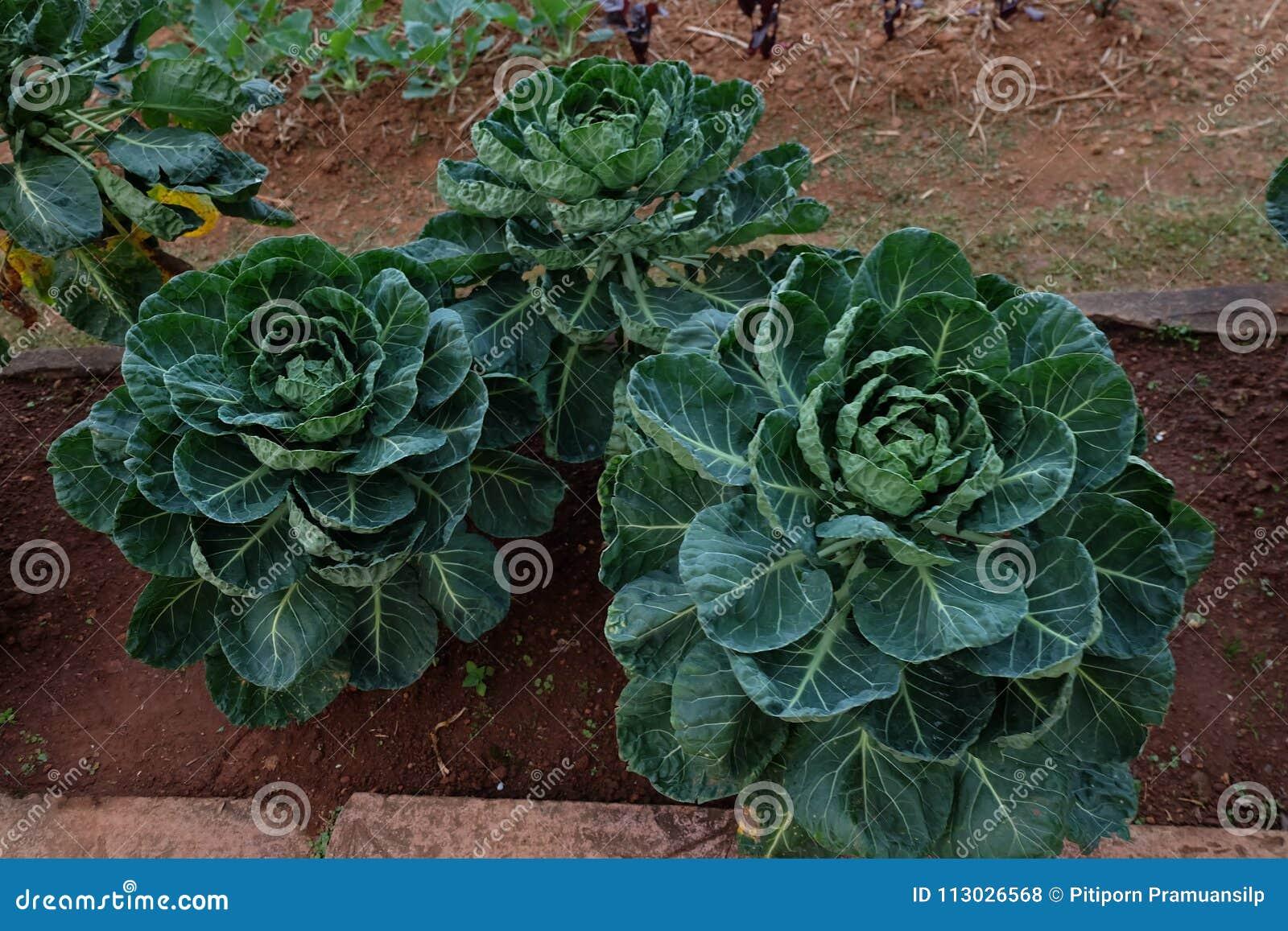 Huerto en verano Hierbas, flores Eco cómodo cabbag