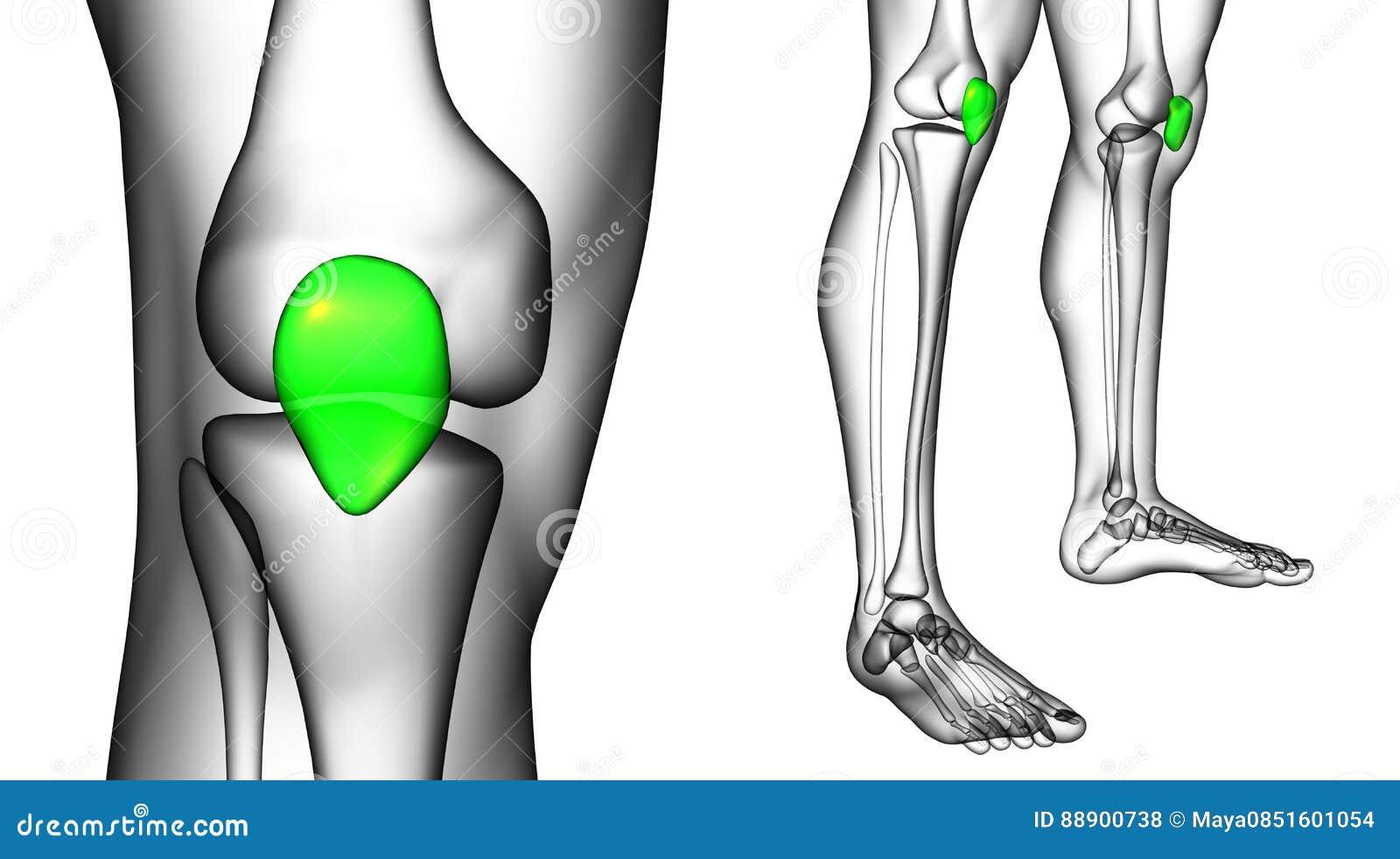 Excelente Imagen De La Rótula Modelo - Imágenes de Anatomía Humana ...