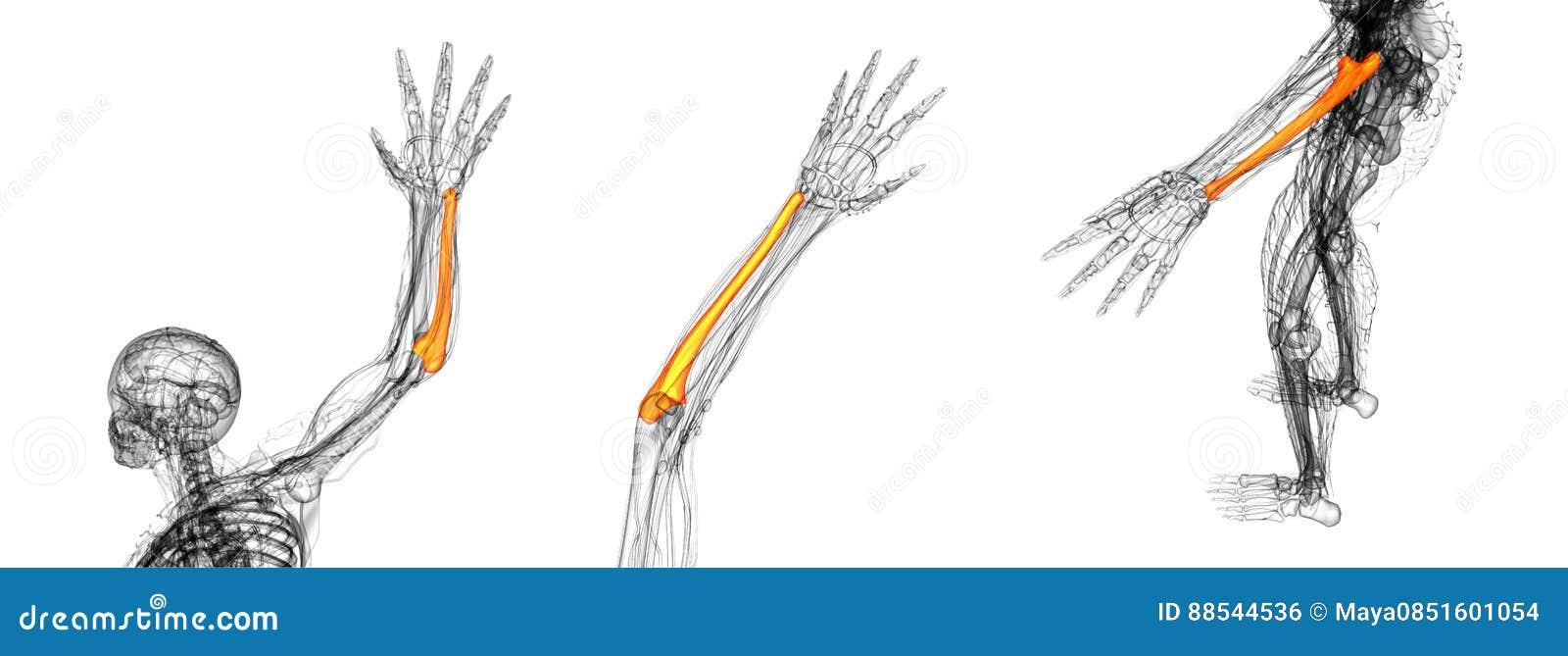 Hueso del cúbito stock de ilustración. Ilustración de esqueleto ...