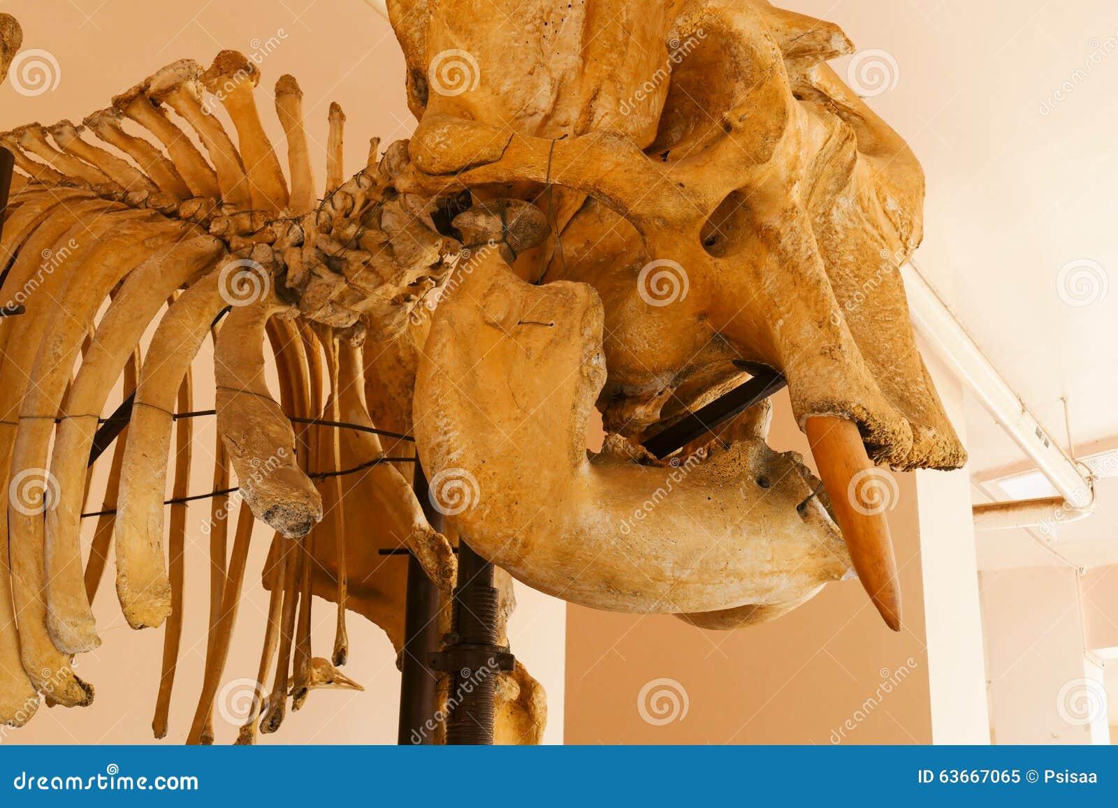Hueso Del Cráneo Del Animal Del Elefante Imagen de archivo - Imagen ...