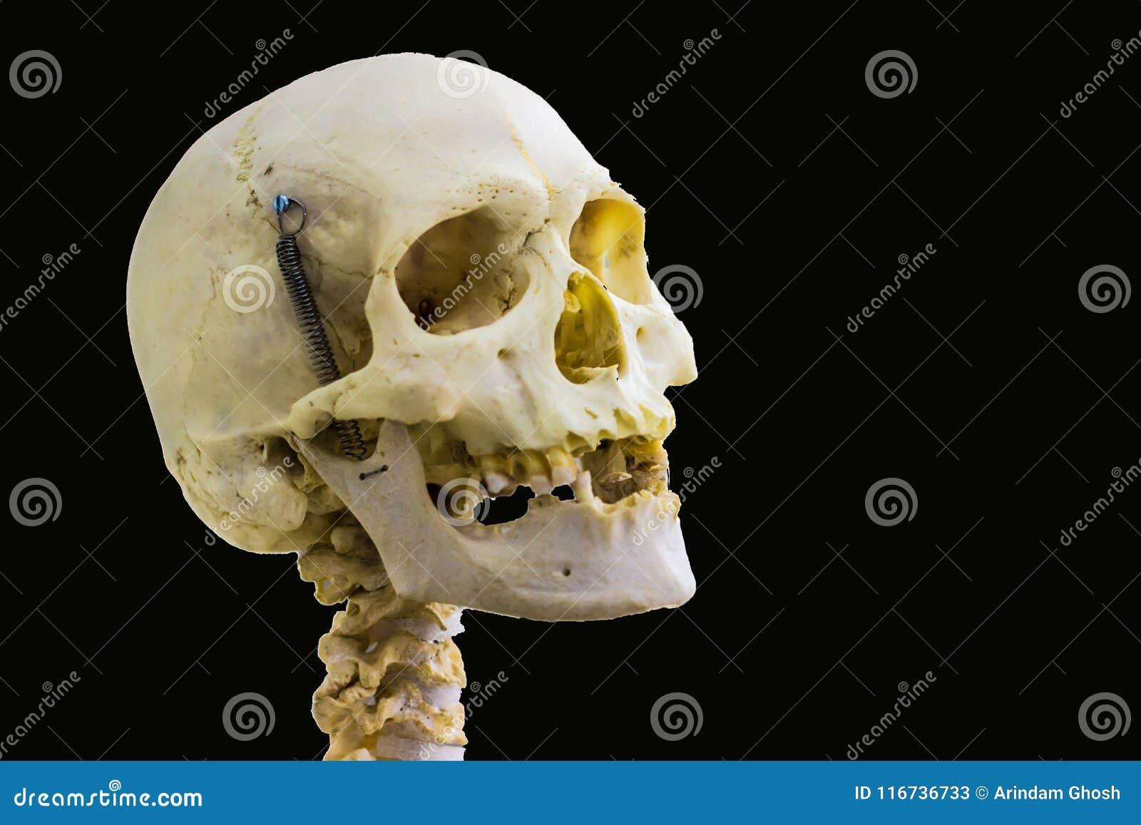 Hueso Del Cráneo Y Vértebras Cervicales Humanos Articulados Para La ...