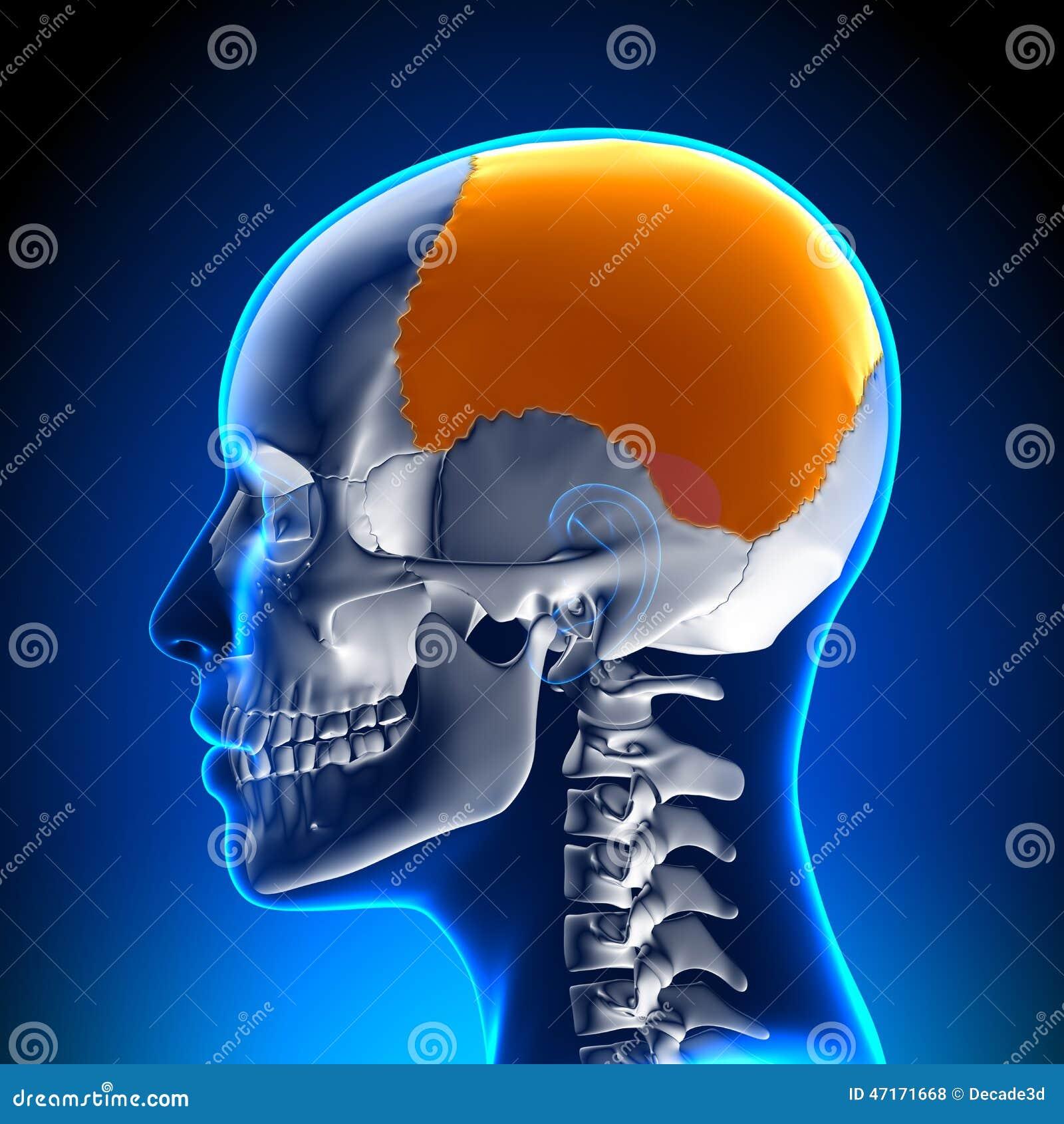 Hueso Parietal Femenino - Anatomía Del Cráneo/del Cráneo Stock de ...