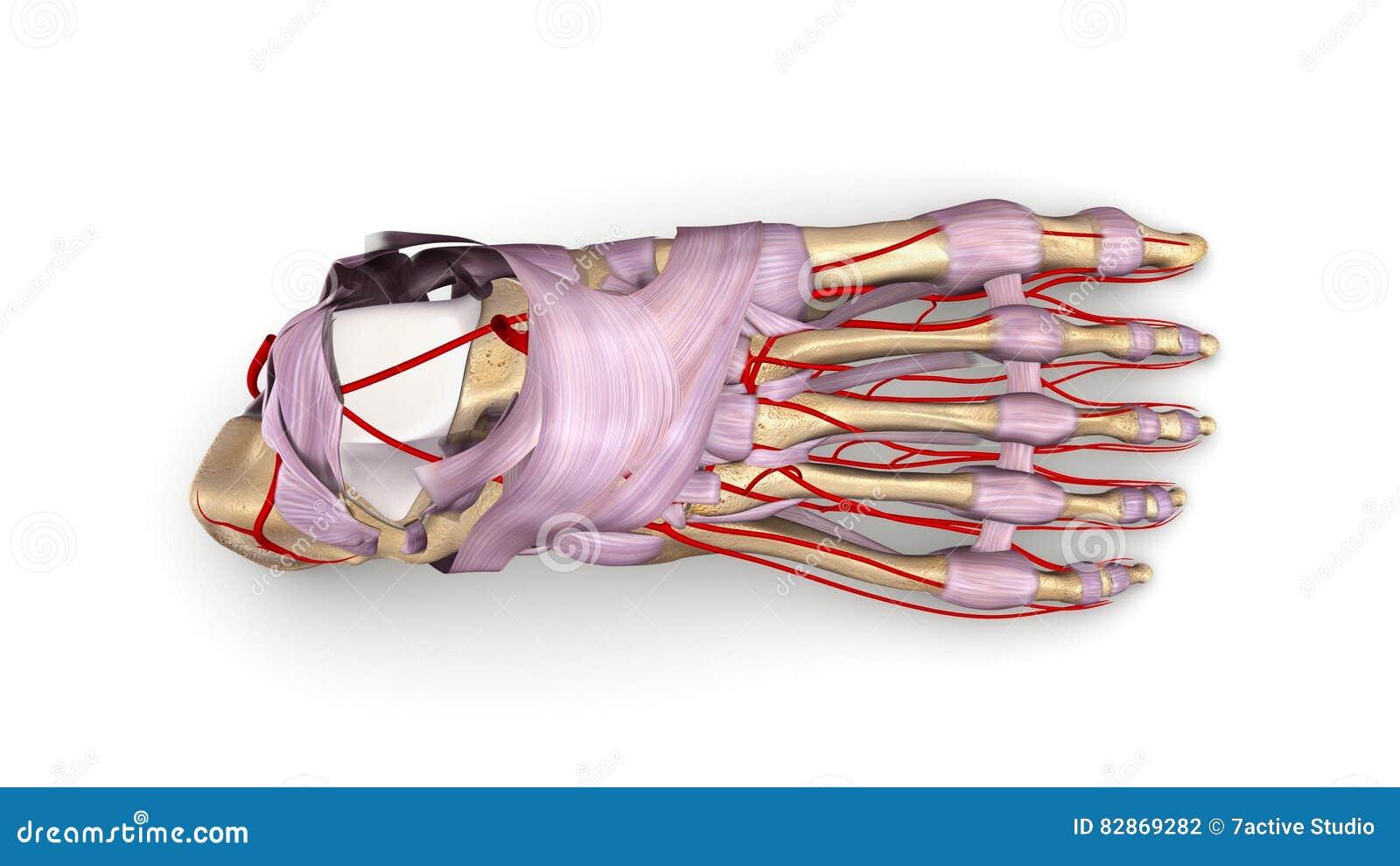 Huesos De Pie Con Los Ligamentos Y La Opinión Superior De Las ...