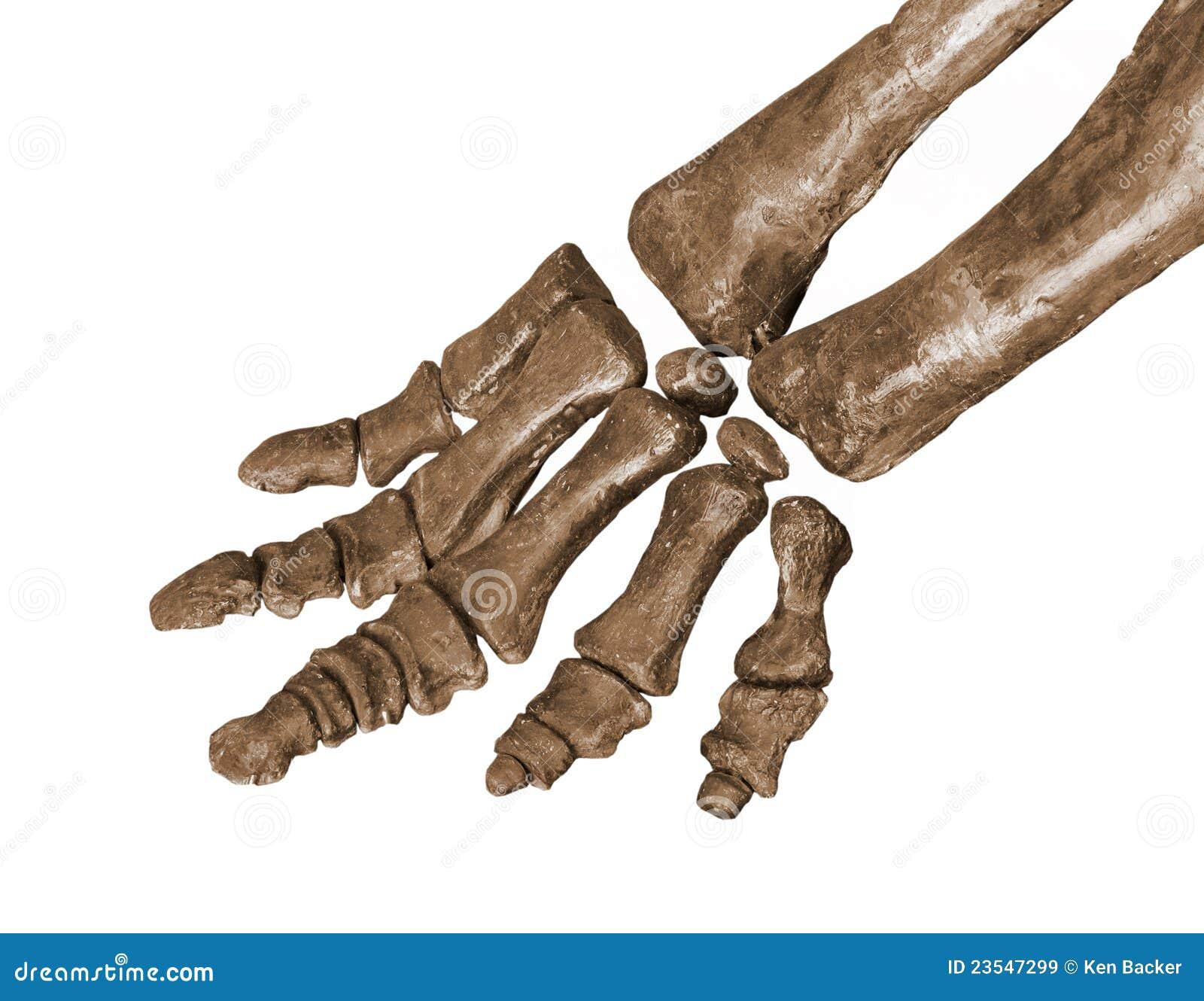 Huesos De Pie Del Fósil De Dinosaurio Aislados Imagen de archivo ...