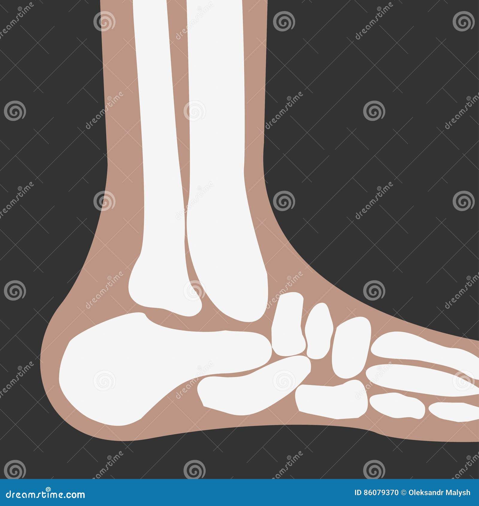 Huesos de pie humano ilustración del vector. Ilustración de cuidado ...