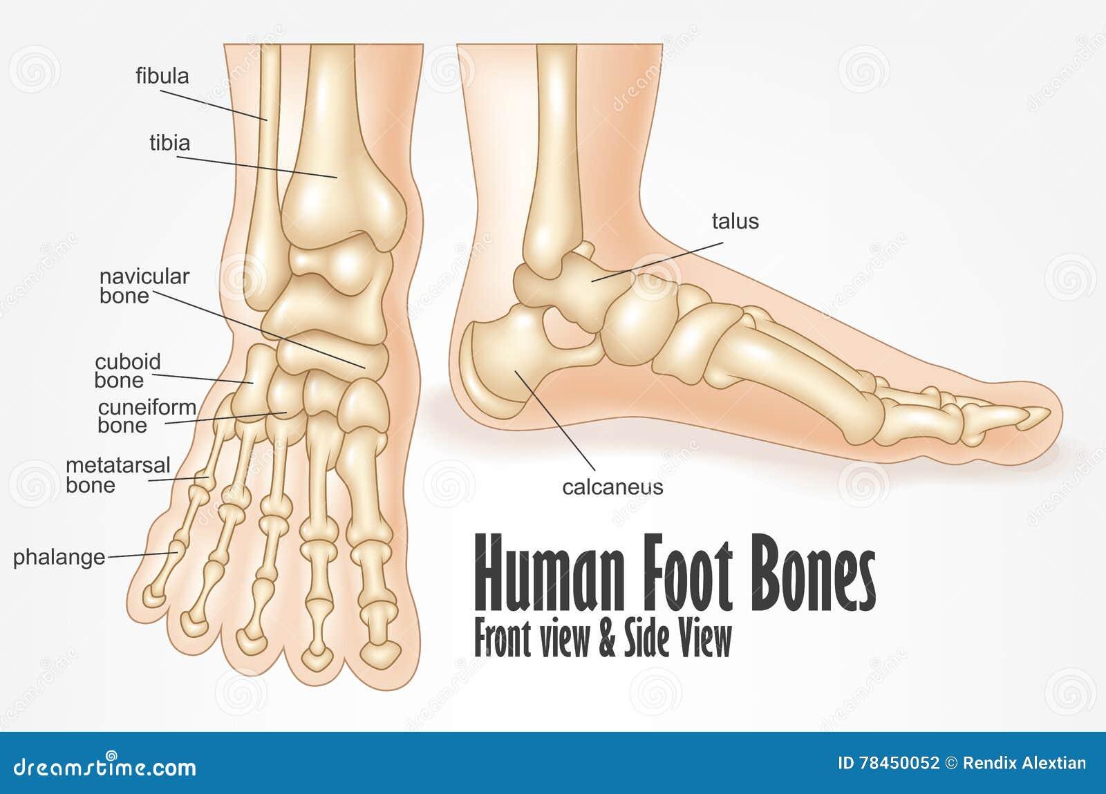 Huesos De Pie Humano Delanteros Y Anatomía De La Vista Lateral ...