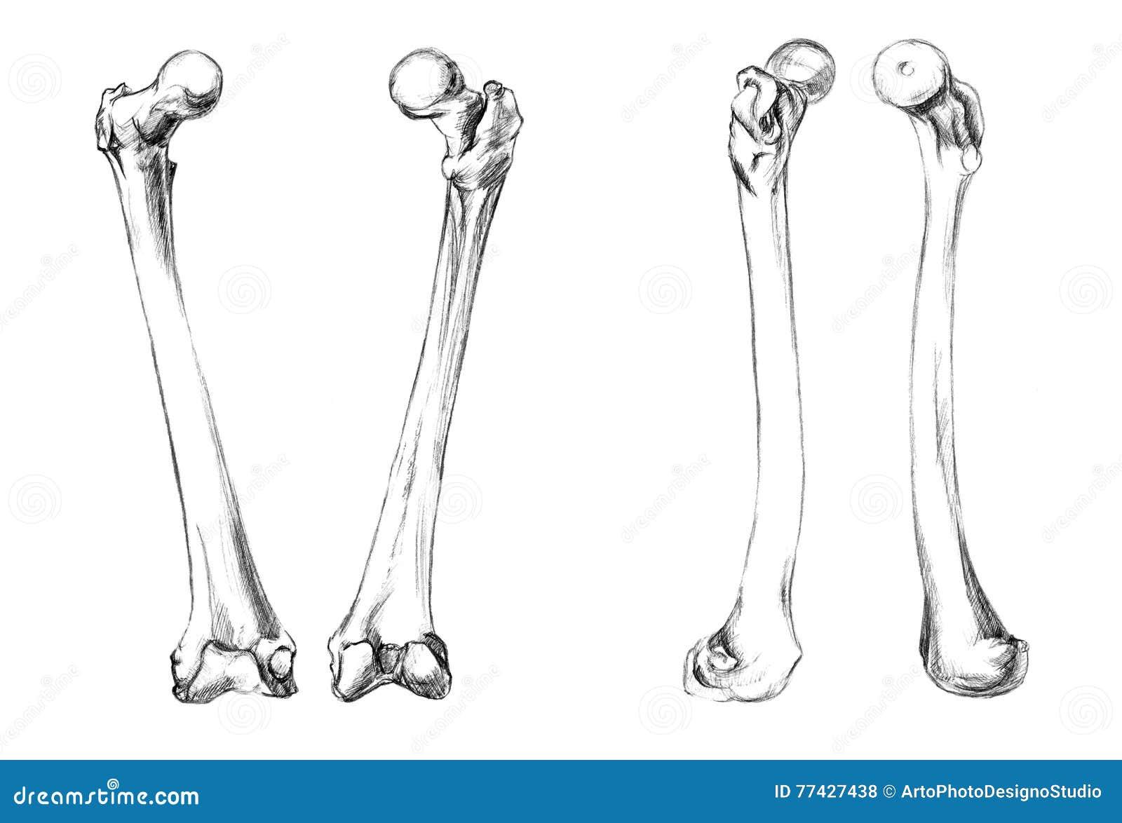 Atractivo Huesos De Las Piernas Bosquejo - Imágenes de Anatomía ...