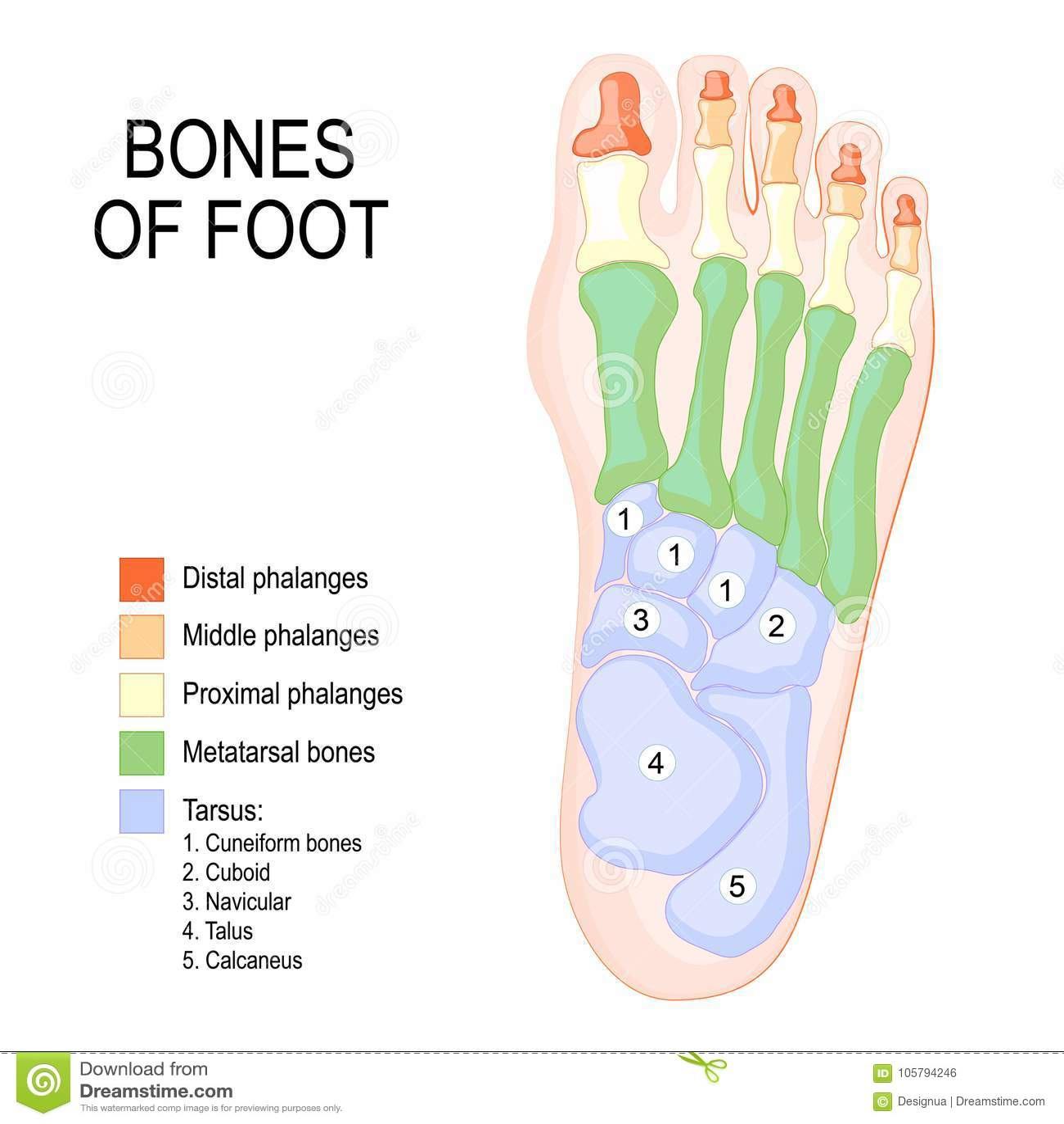 Huesos del pie ilustración del vector. Ilustración de cuboid - 105794246