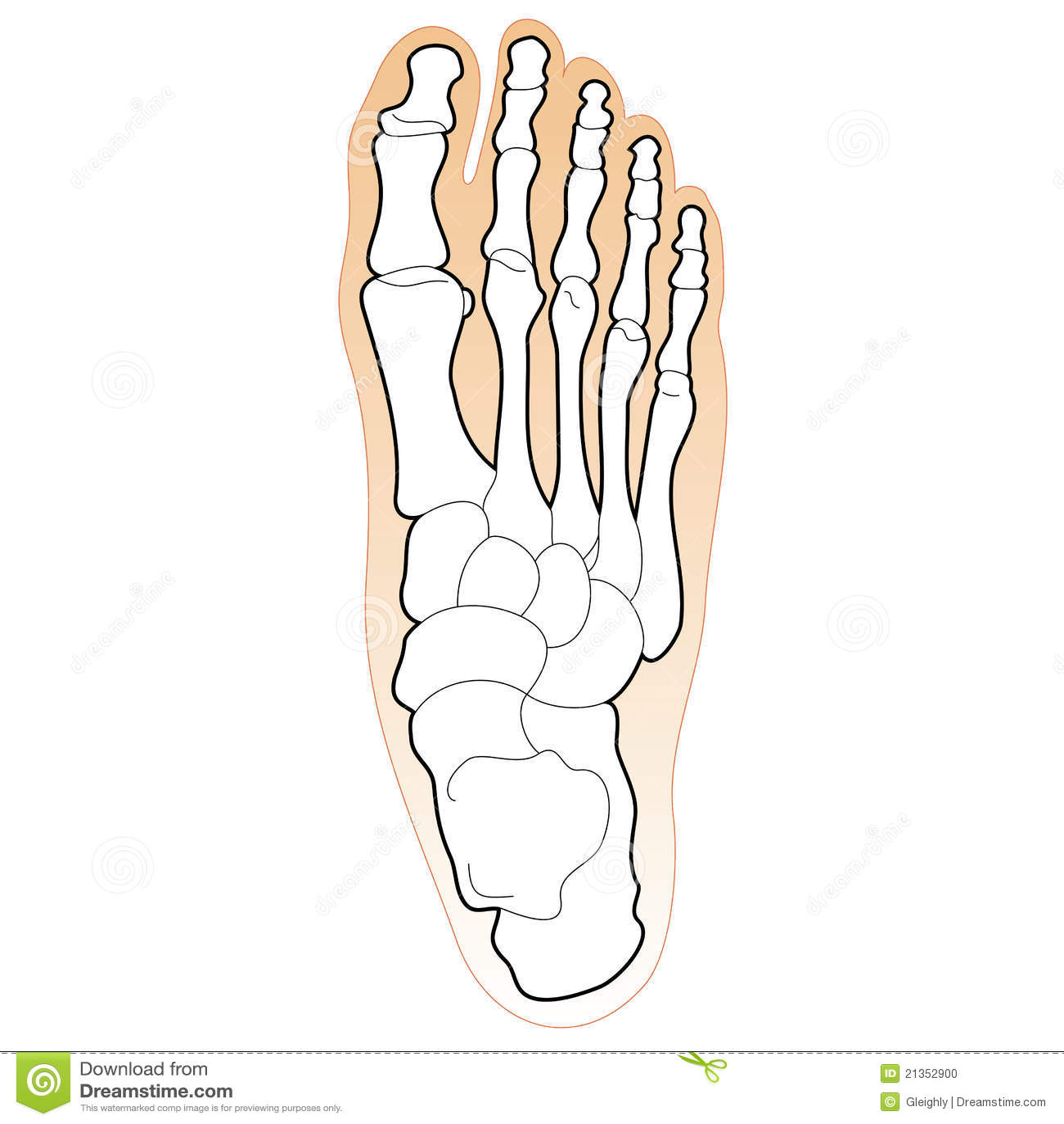 Huesos del pie humano ilustración del vector. Ilustración de ...