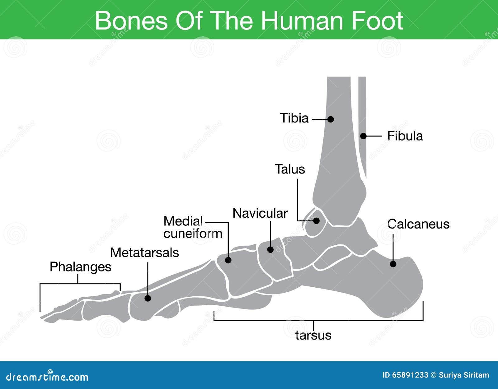 Huesos del pie humano ilustración del vector. Ilustración de leaning ...