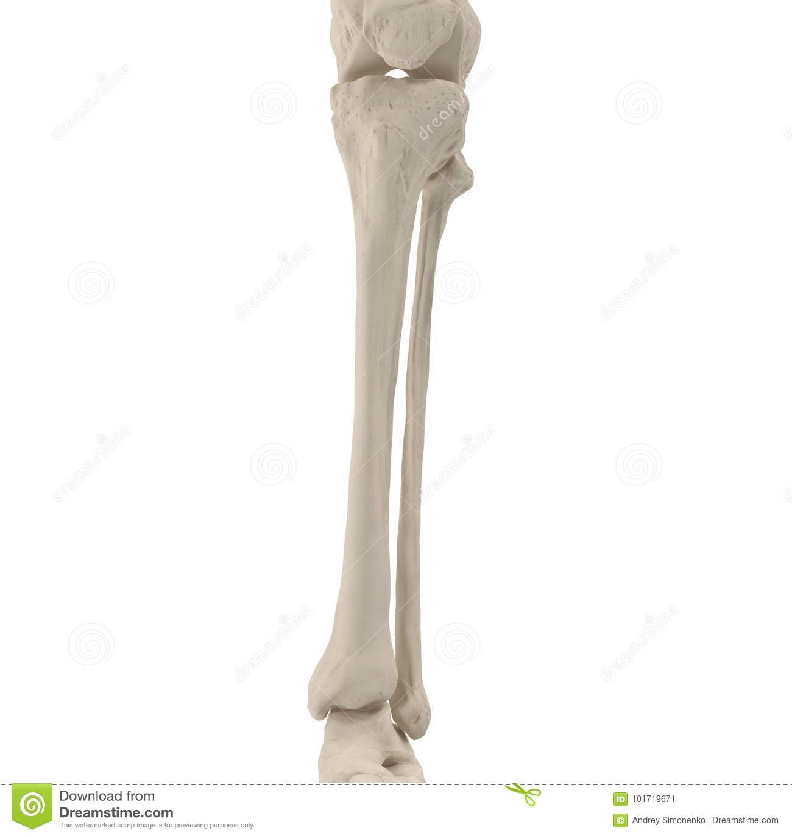 Huesos Esqueléticos De Las Piernas Humanas En Blanco Ilustración 3D ...
