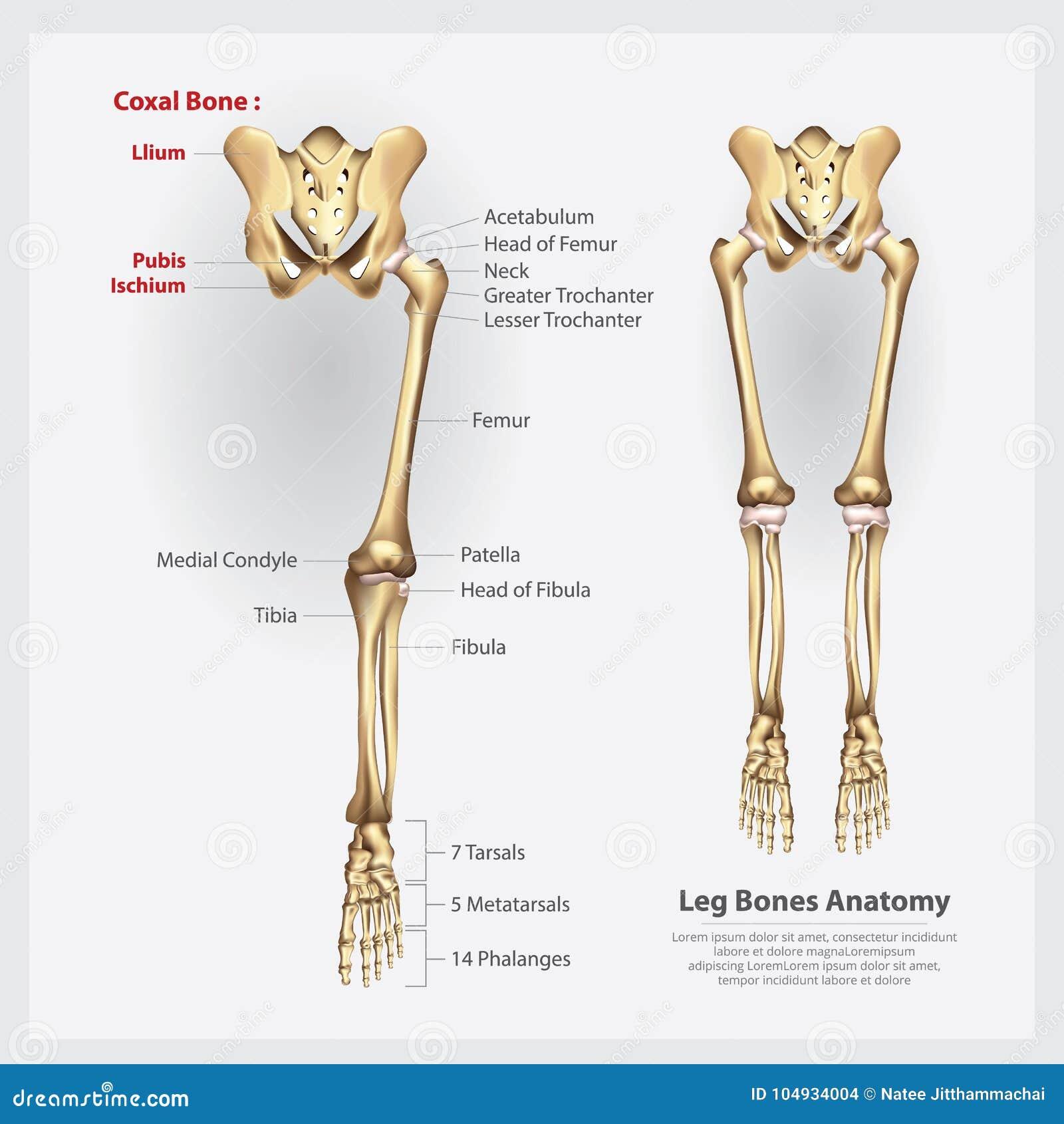 Huesos Humanos De La Pierna De La Anatomía Ilustración del Vector ...