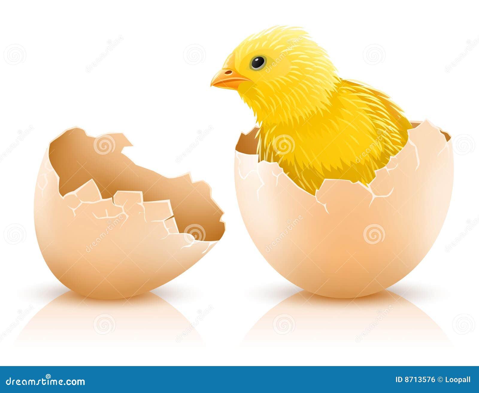 Huevo de gallina agrietado con el bebé del pollo adentro