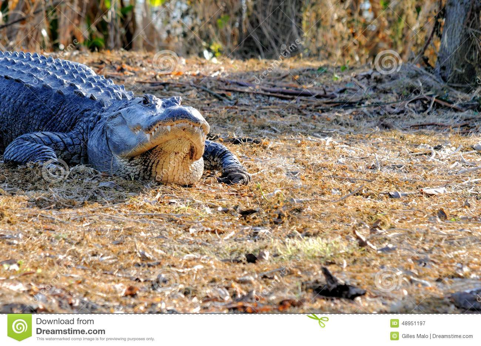 Huge American Alligator Okefenokee Swamp National