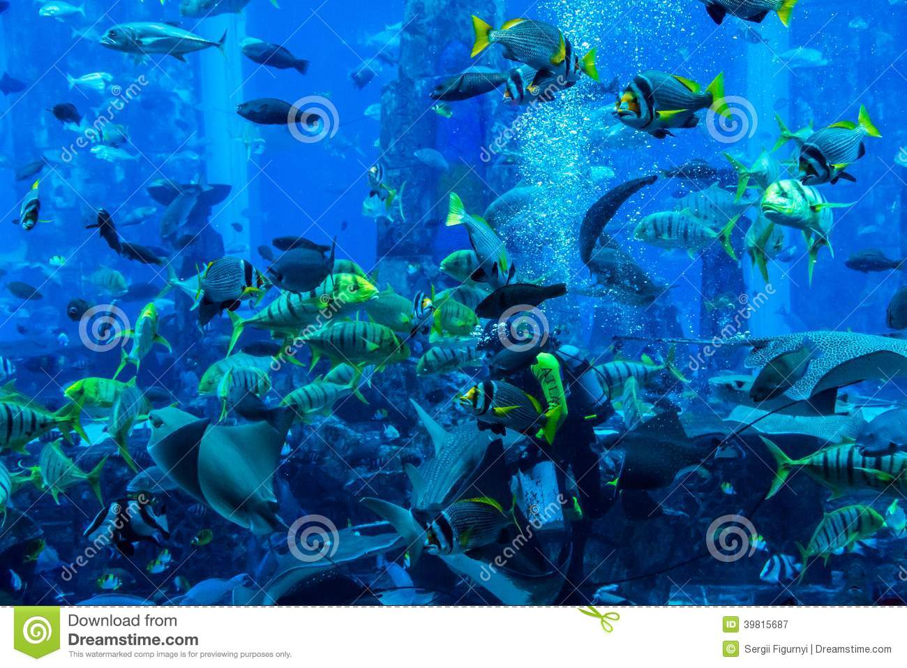 Fish aquarium in uae - Huge Aquarium In Dubai Diver Feeding Fishes Editorial Photography