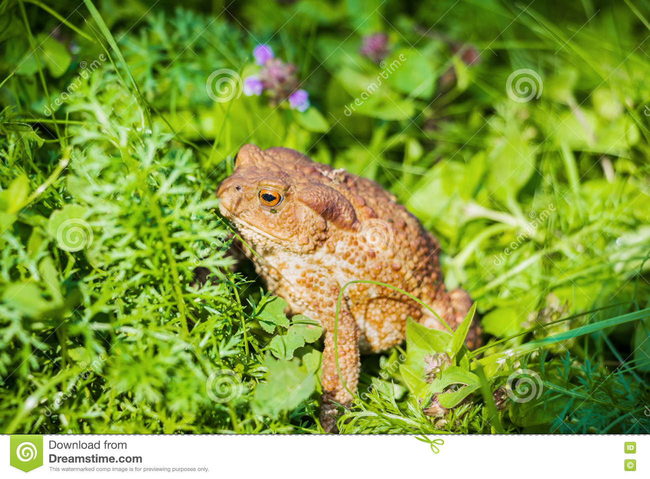 Huge Brown Toad With Mottled Skin Sits In Grass In Garden Stock