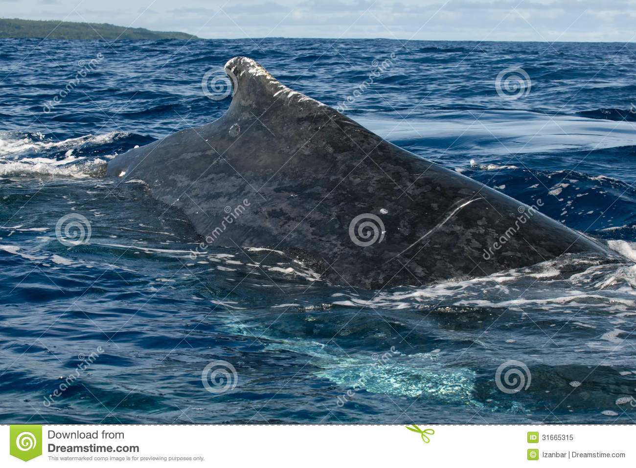 Huge close up Humpback whale back and tail going down in blue polynesian sea