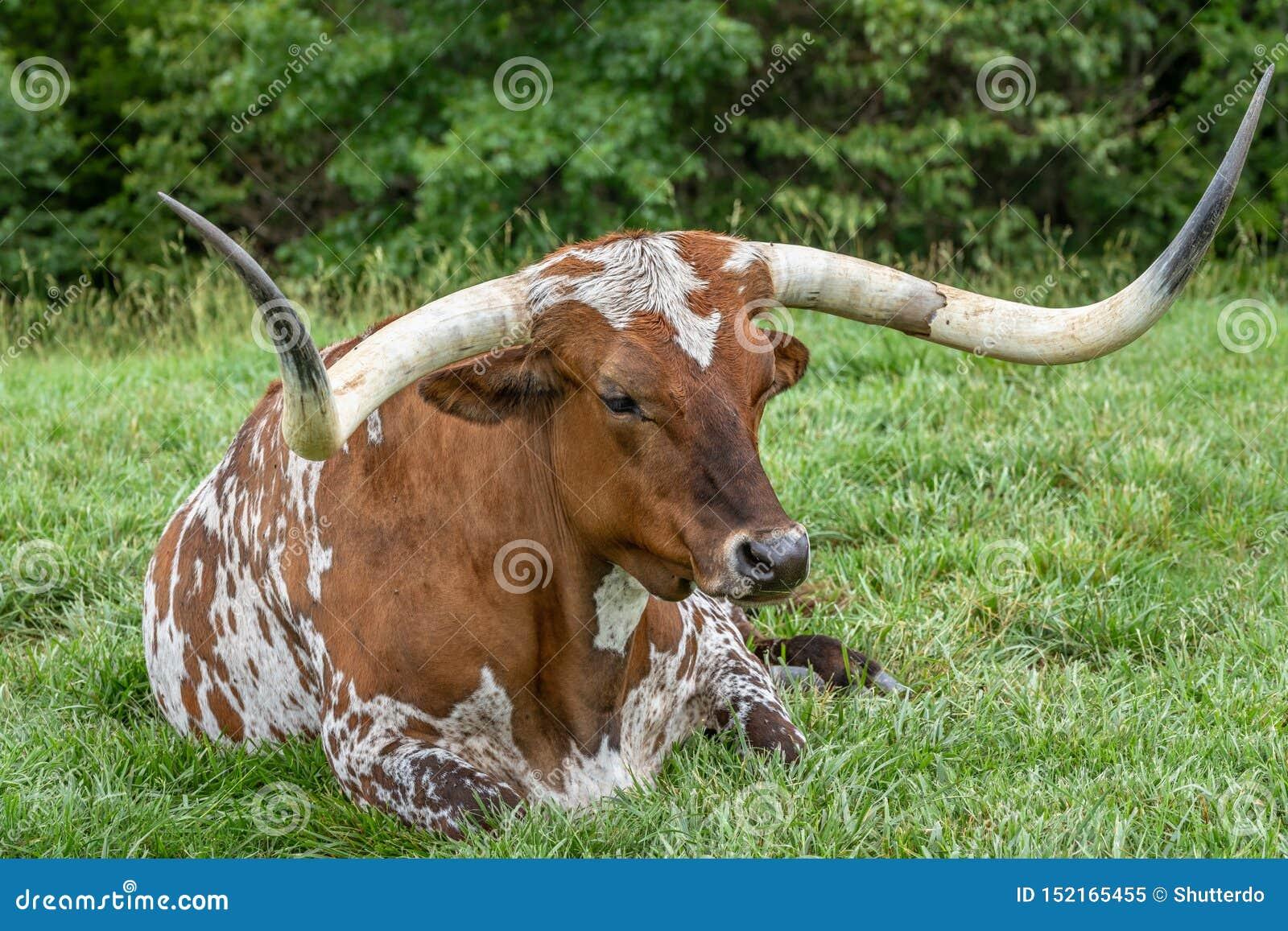 Huge close up of a Texas long horn steer