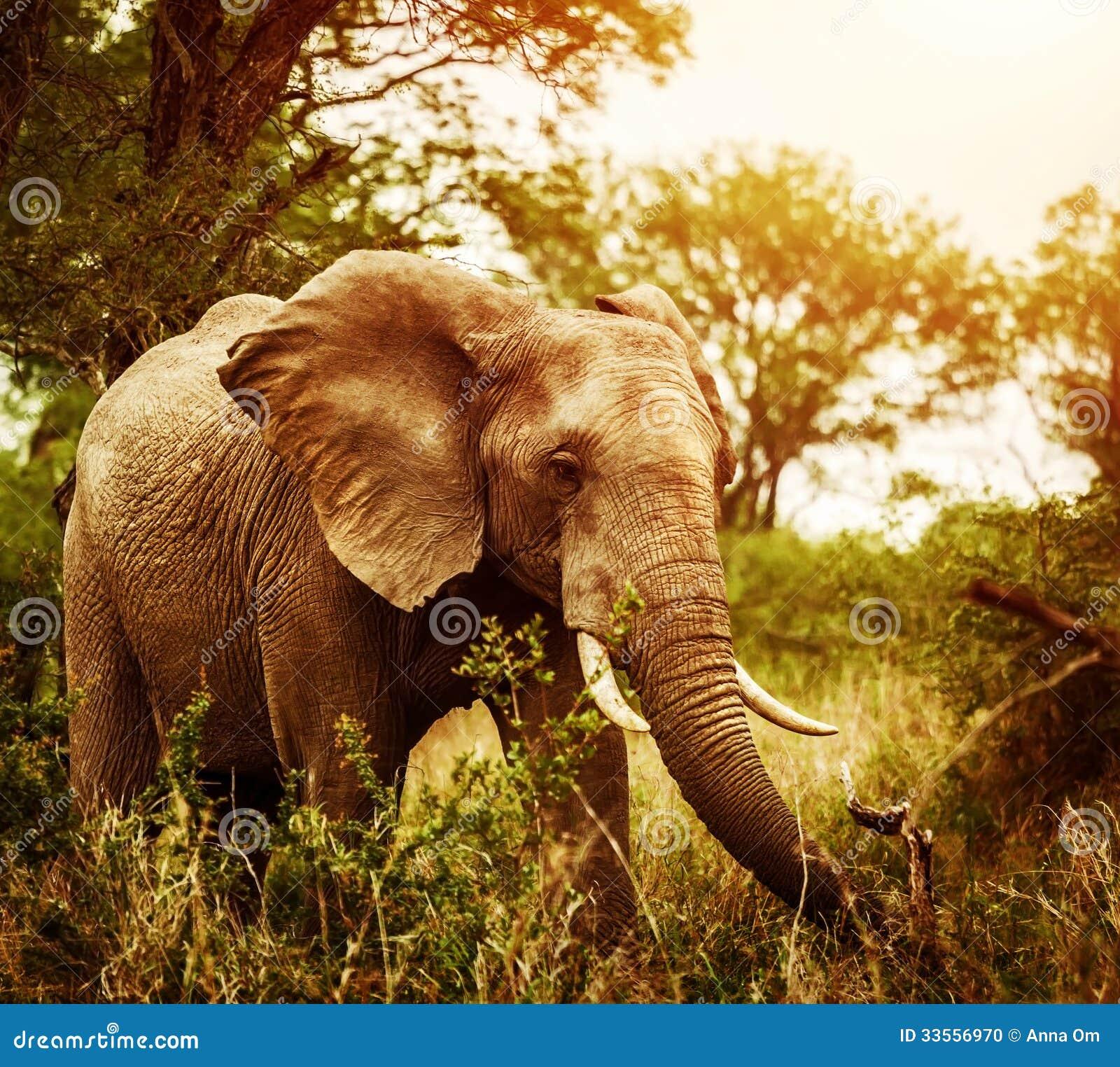 Huge Elephant Outdoors Stock Photo Image 33556970