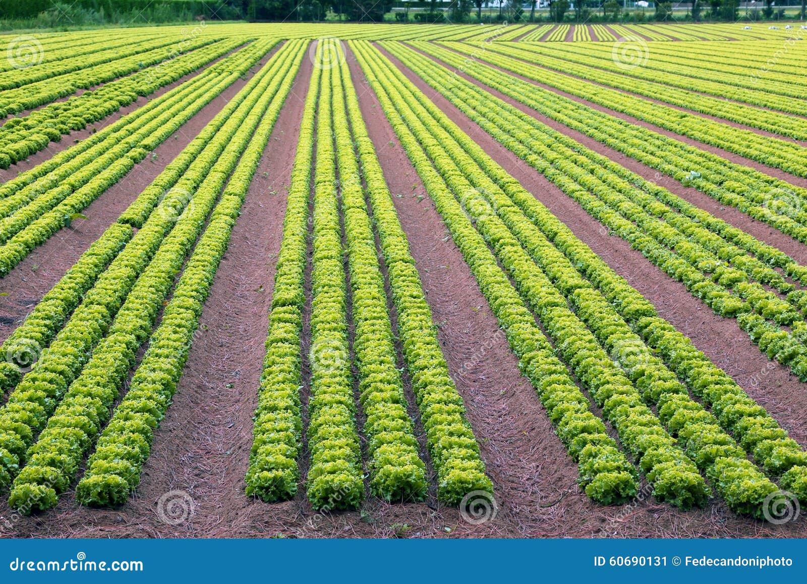 Huge field of green lettuce