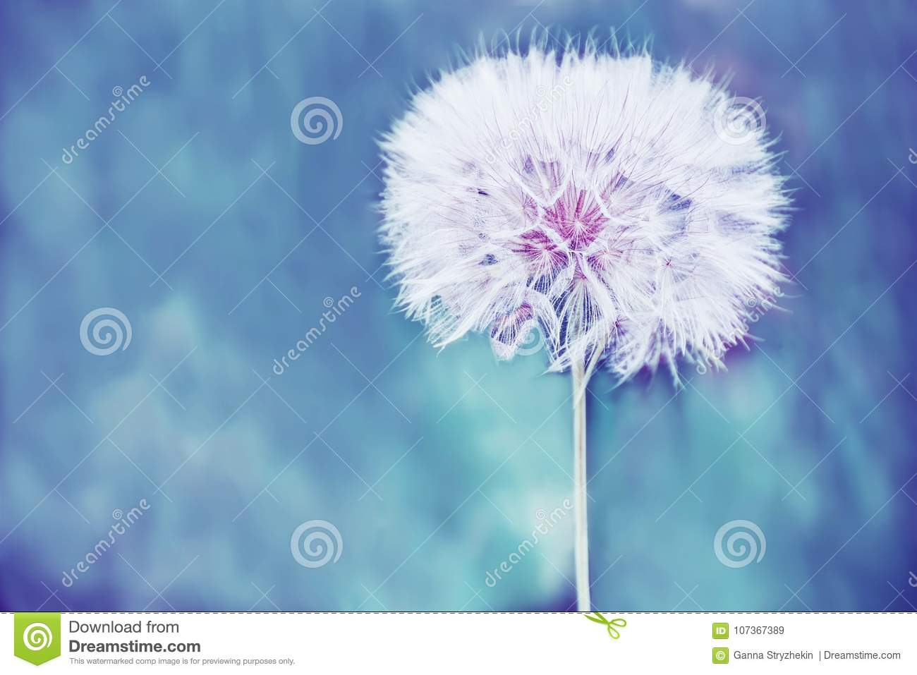 A huge fluffy white dandelion flower ball stock image image of download a huge fluffy white dandelion flower ball stock image image of natural mightylinksfo