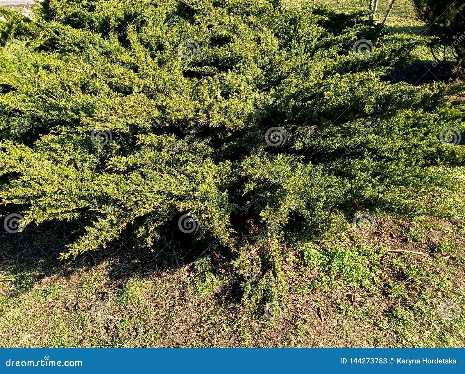 Huge green bush at sunny day in park